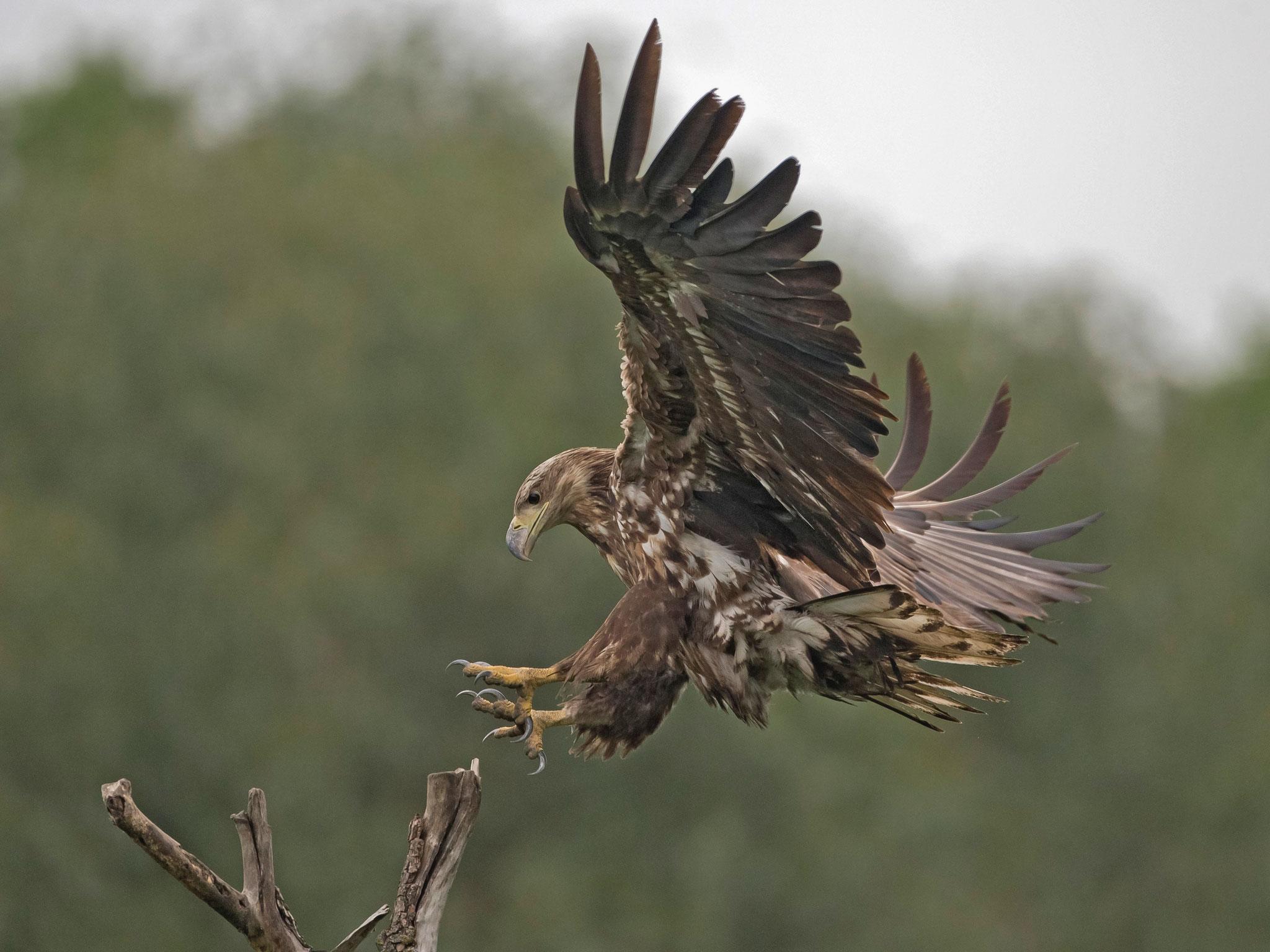 Seeadler, Hortobagy, Ungarn