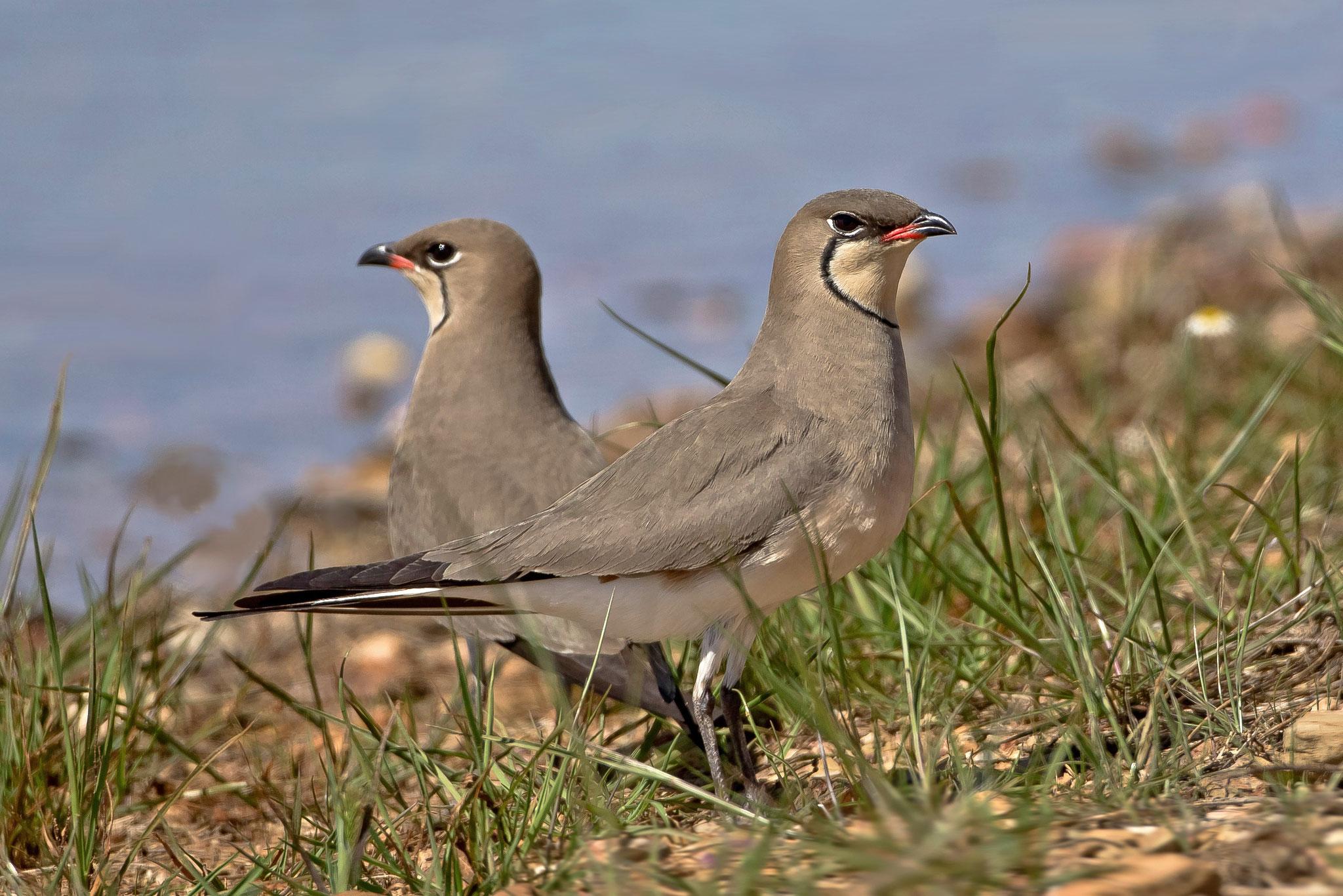 Die Vögel sind in diesem Jahr weiter fortgeschritten mit ihren Balzritualen ...