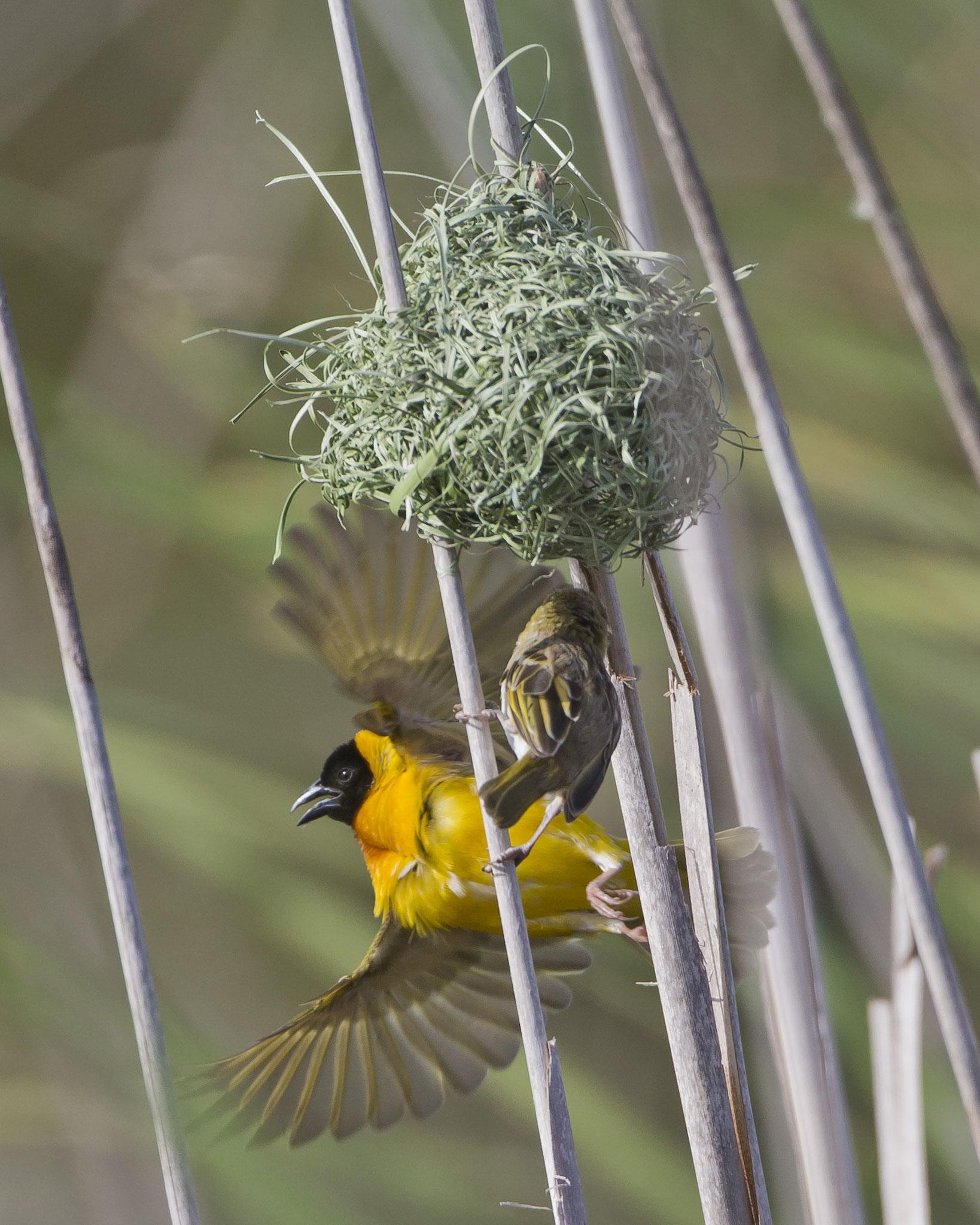 Sobald ein Weibchen für das Männchen Interesse zeigt, prüft das Weibchen mit Schnabelhieben die Festigkeit des Nestes.
