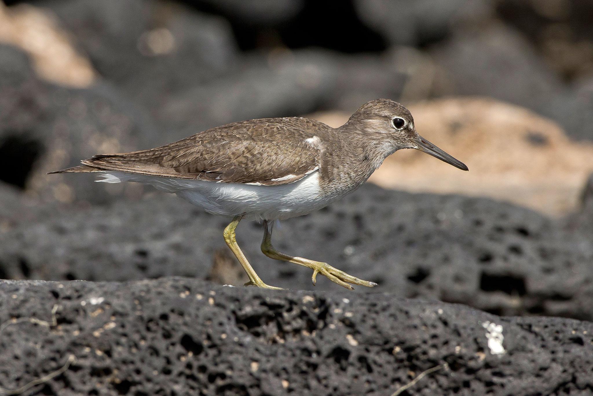 ... dieses Vogels, der zwischen den Lavafelsen am Wasser...