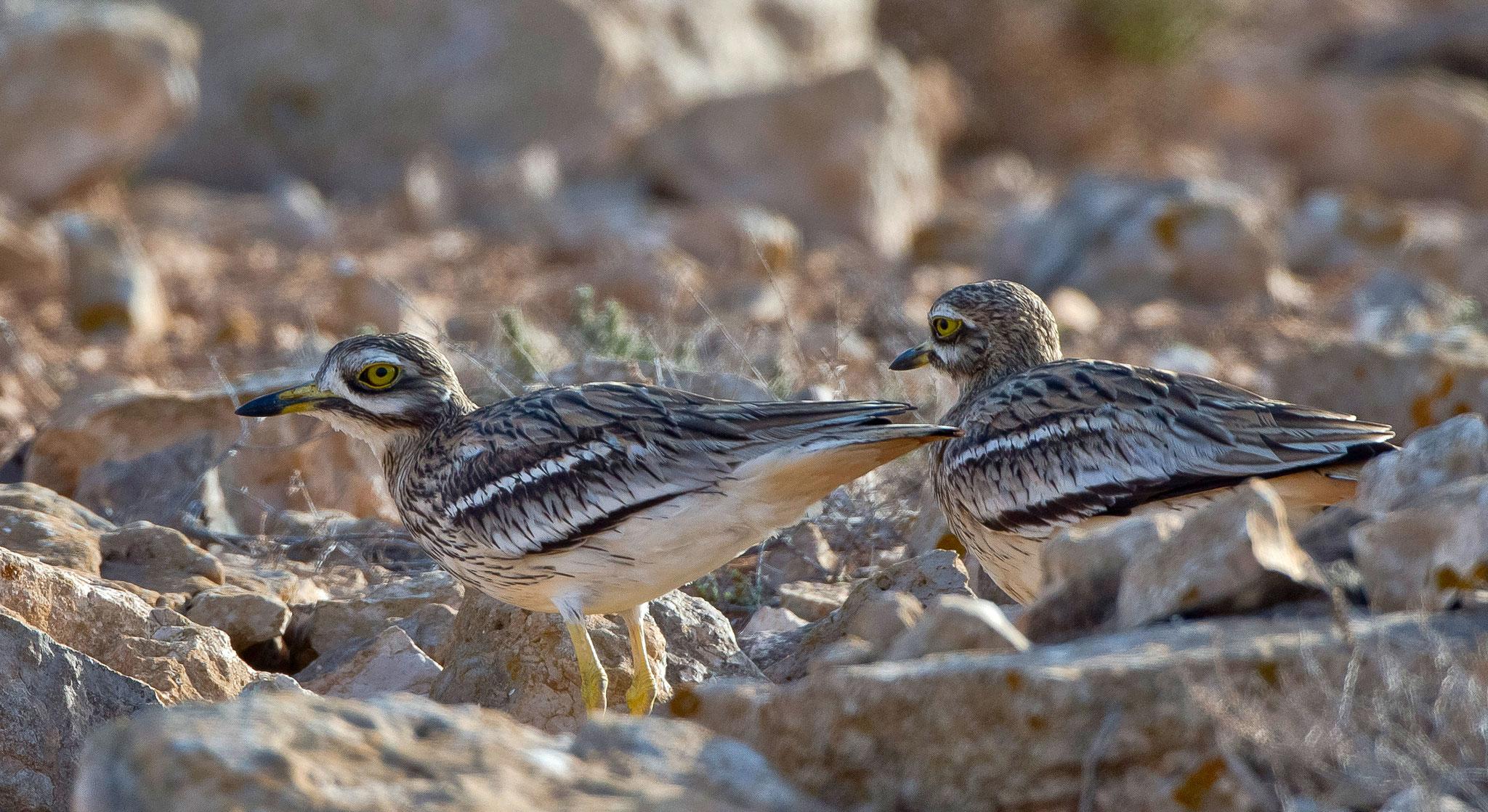 Jedenfalls sind sie bis zum Ende unserers Aufenthalts immer dort anzutreffen, Jungvögel haben wir jedoch nie gesehen