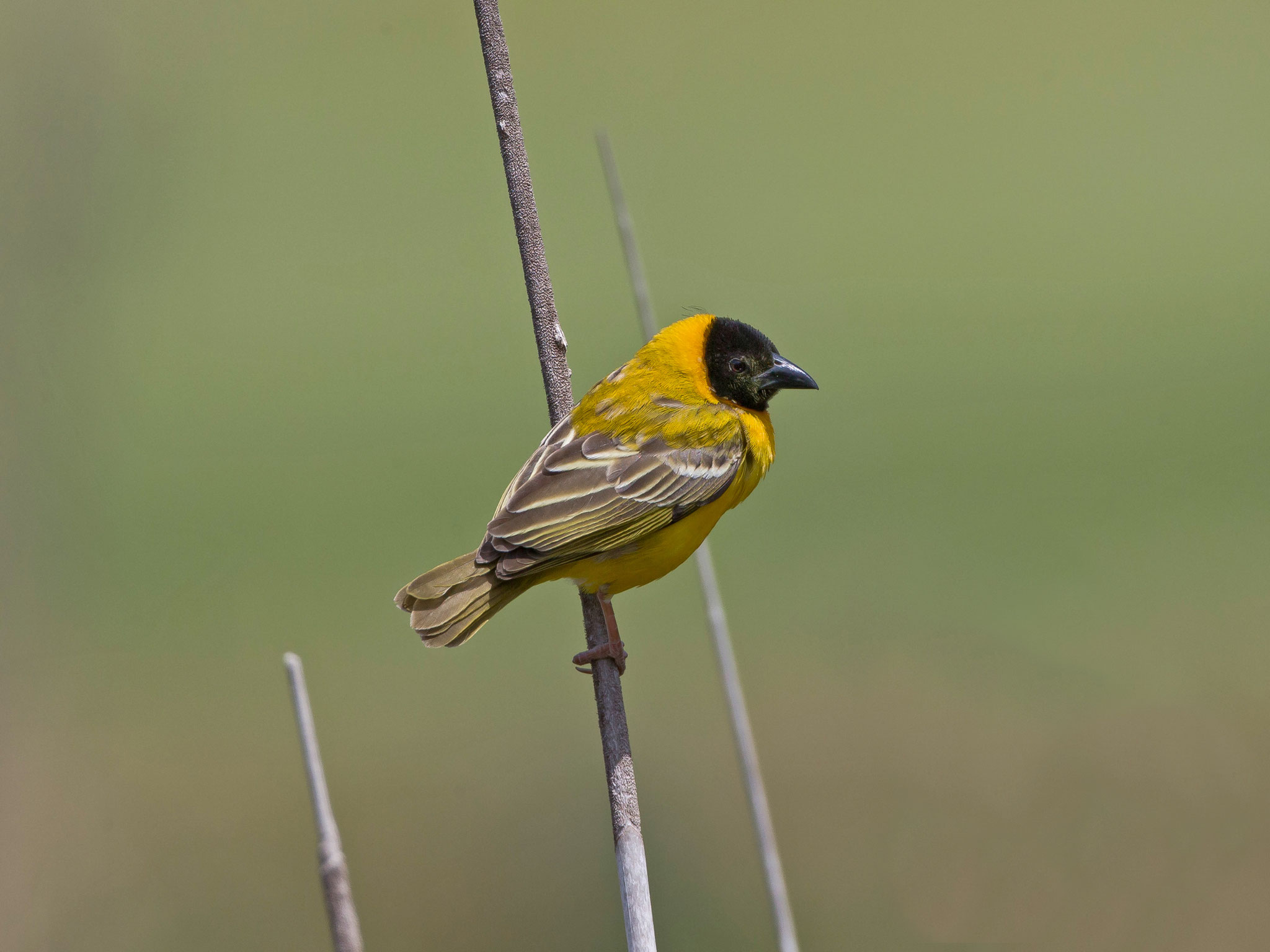 Der zu den Webervögeln gehörende Schwarzkopfweber ist im zentralen Afrika beheimatet, ...