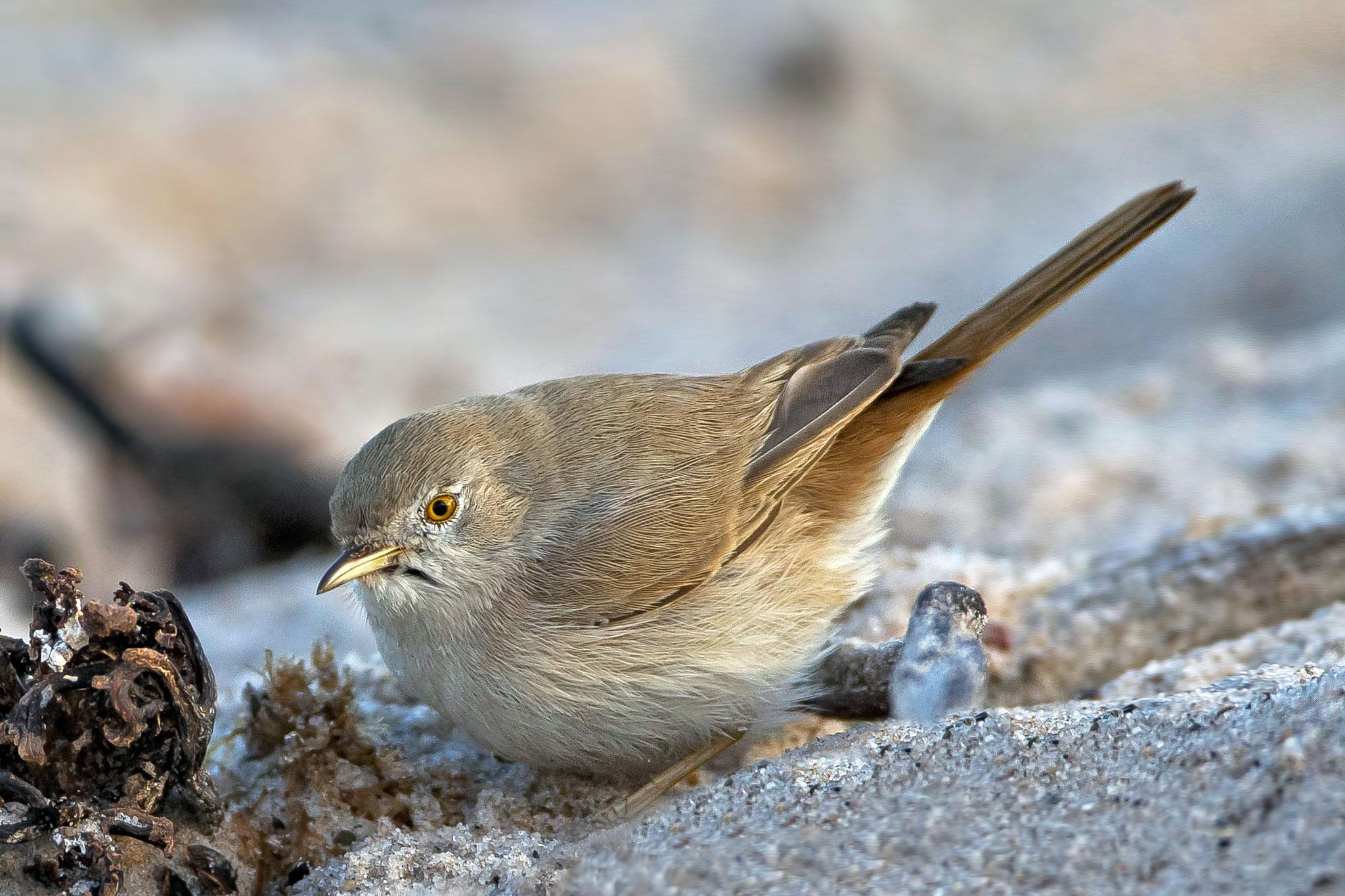 ... für uns eine persönliche Erstbeobachtung (PEB), sie lockt viele Ornithologen an den Nordstrand