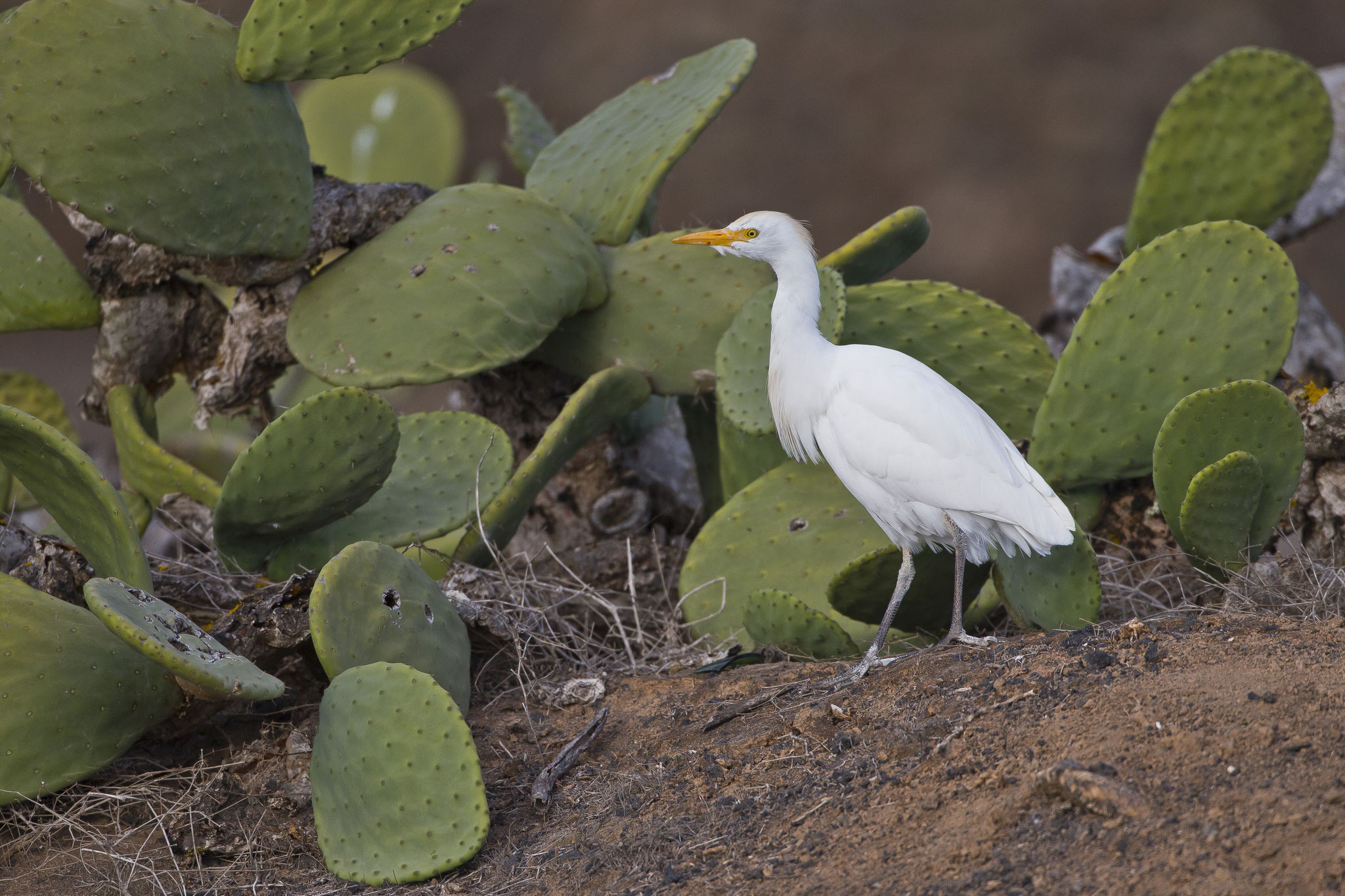 """Ornithologisch brachte der Trip nicht allzuviel, wir beobachten zwei Saharakragentrappen, Felsenhühner, Raubwürger und diesen """"kaktusliebenden"""" Kuhreiher"""