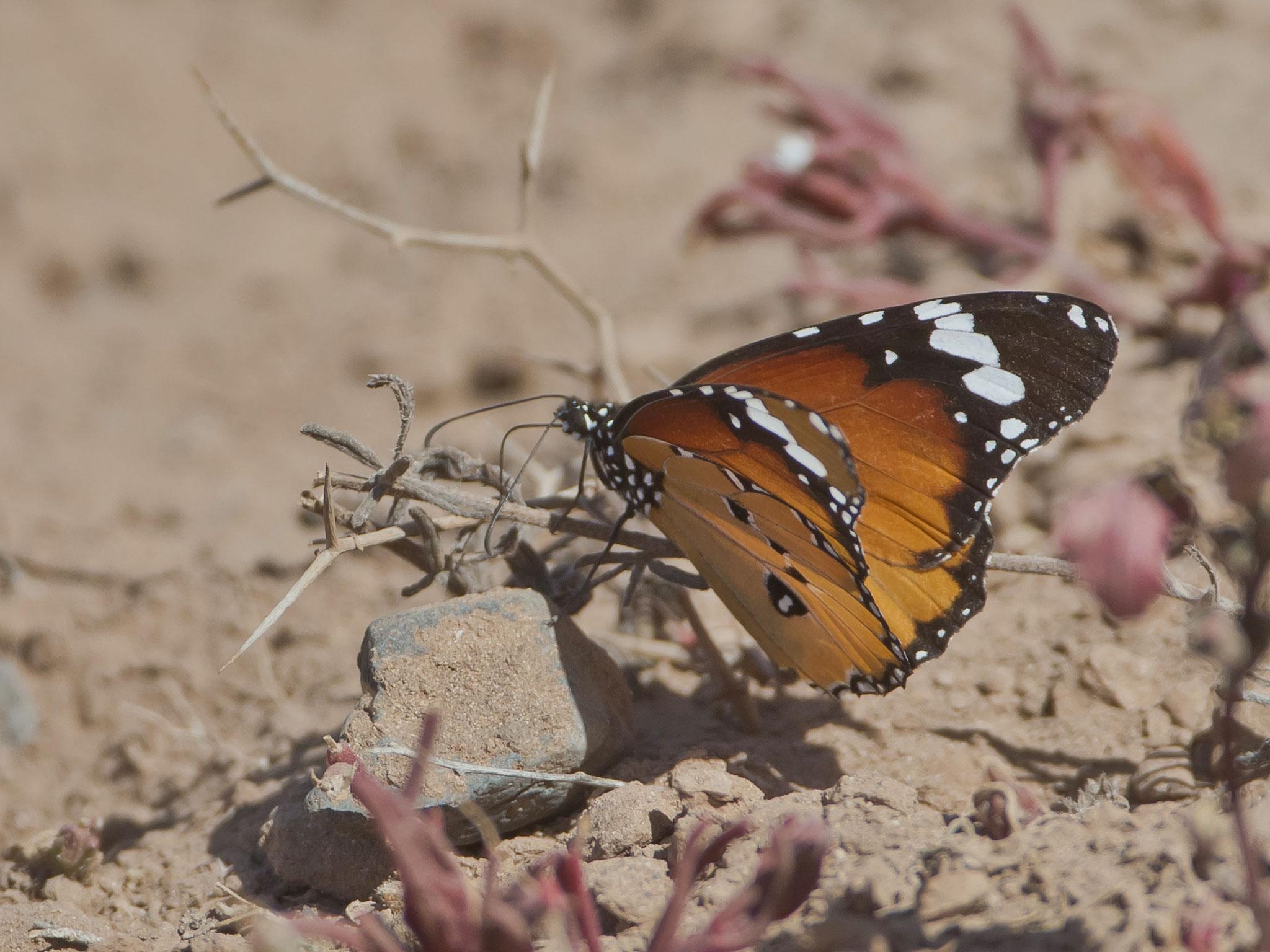 Monarchfalter sind überall auf der Insel anzutreffen ...