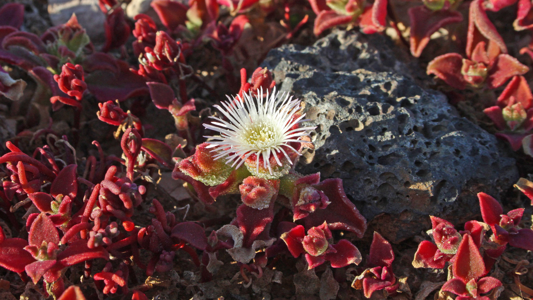 ... und das Eiskraut (Mesembryanthemum crystallinum), deren Blätter sind mit glasigen Kügelchen besetzt, die wie Eiskristalle aussehen wirken, daher der Name