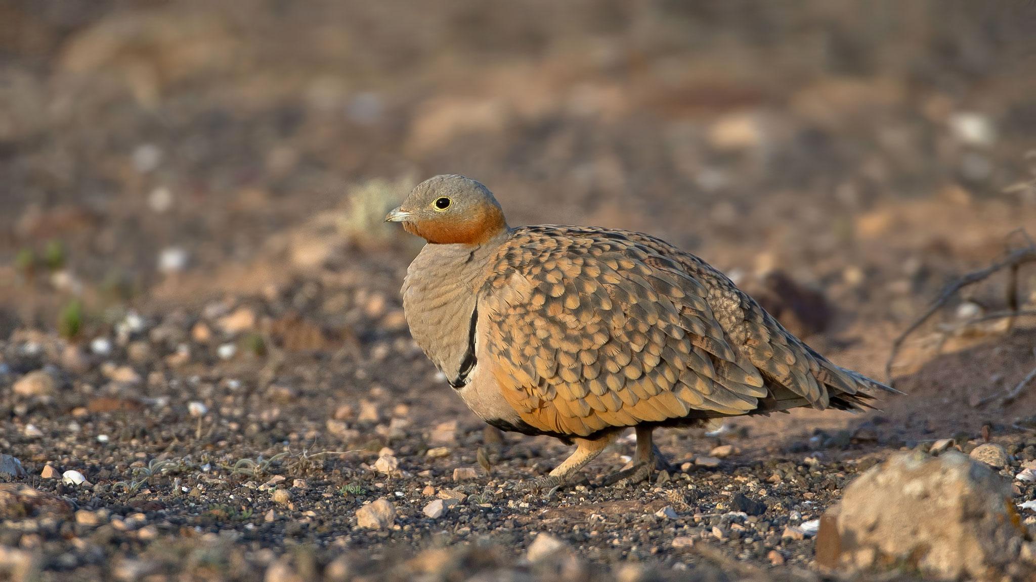 Sandflughuhn, Fuerteventura, Spanien