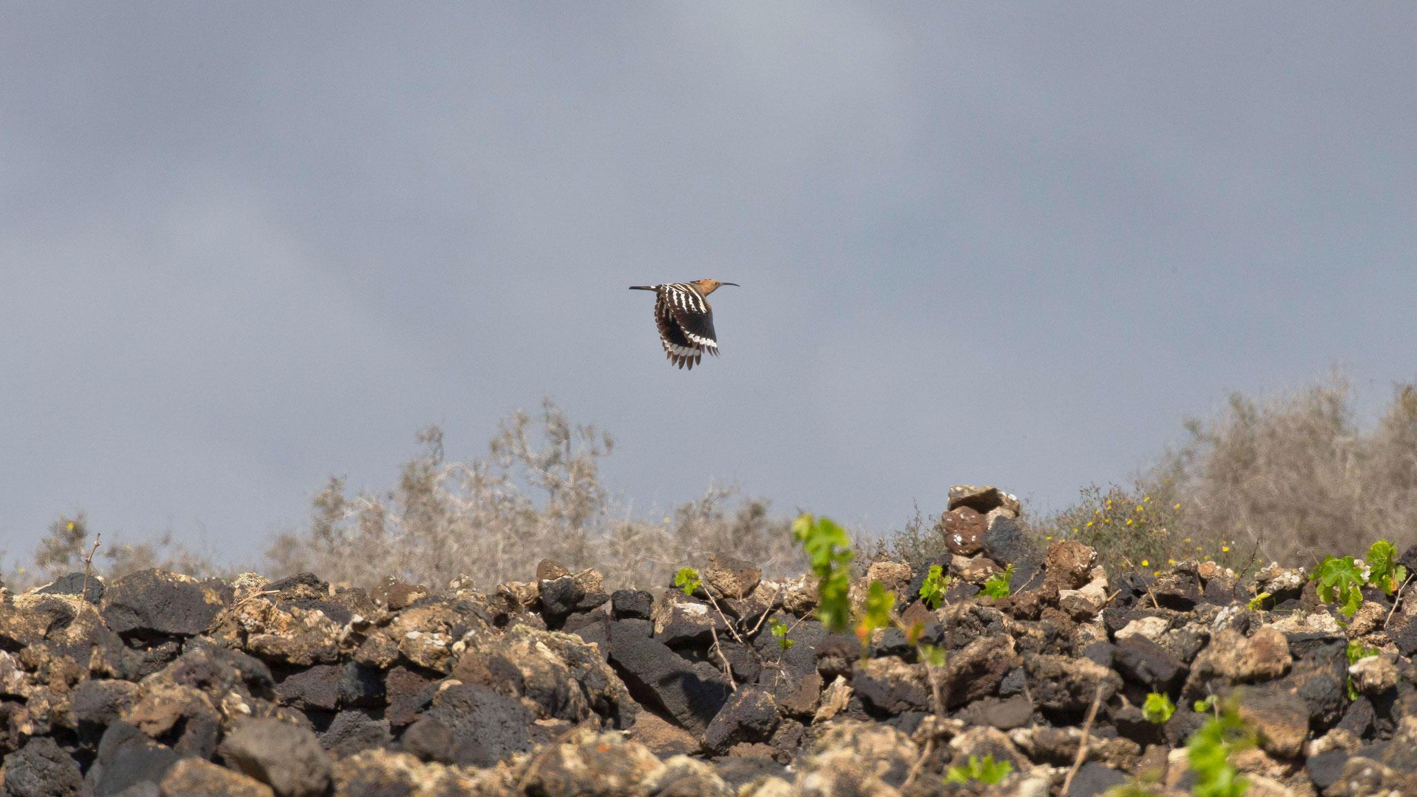 ... und im angrenzenden Weingarten brütet ein Wiedehopfpaar, das regelmässige Fütterungsflüge macht