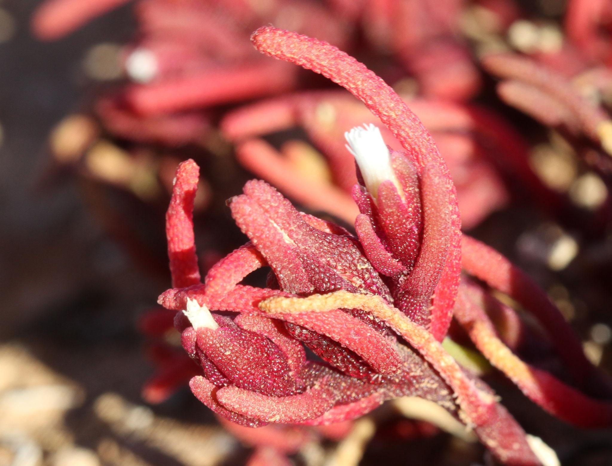 ... einerseits ist dies die Knotenblütige Mittagsblume (Mesembryanthemum nodiflorum) ...