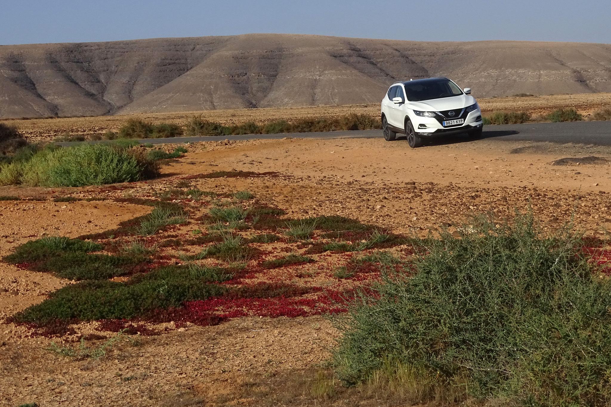 Ein Ausflug führte uns ins Valle de Fimapaire. Anders als in der Tindaya-Halbwüste zeigen sich dort bereits die roten Teppiche, ...