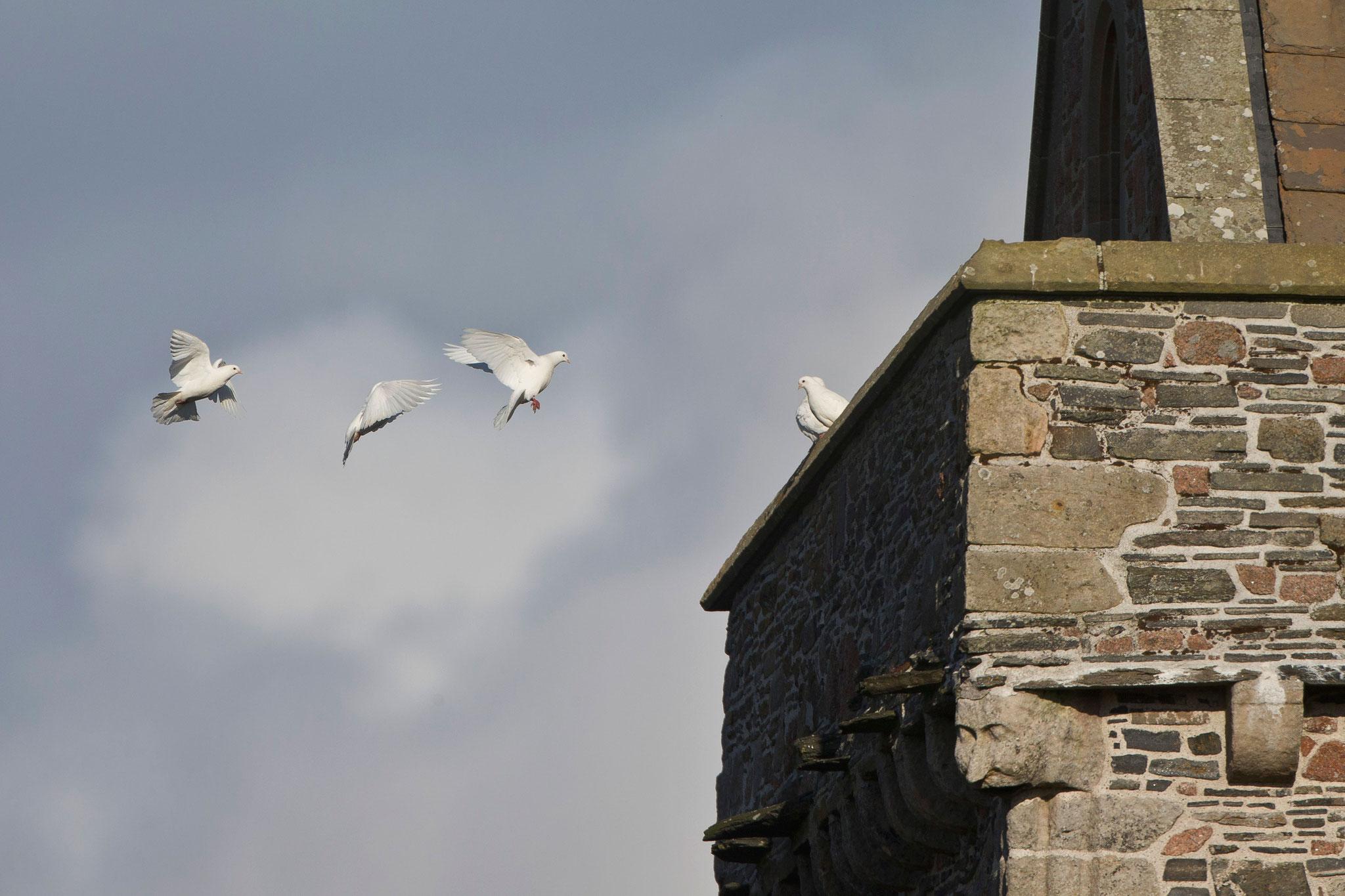 Bei der Abbey lebt ein Trupp weisser Tauben, zwar keine Wildvögel aber trotzdem schön.
