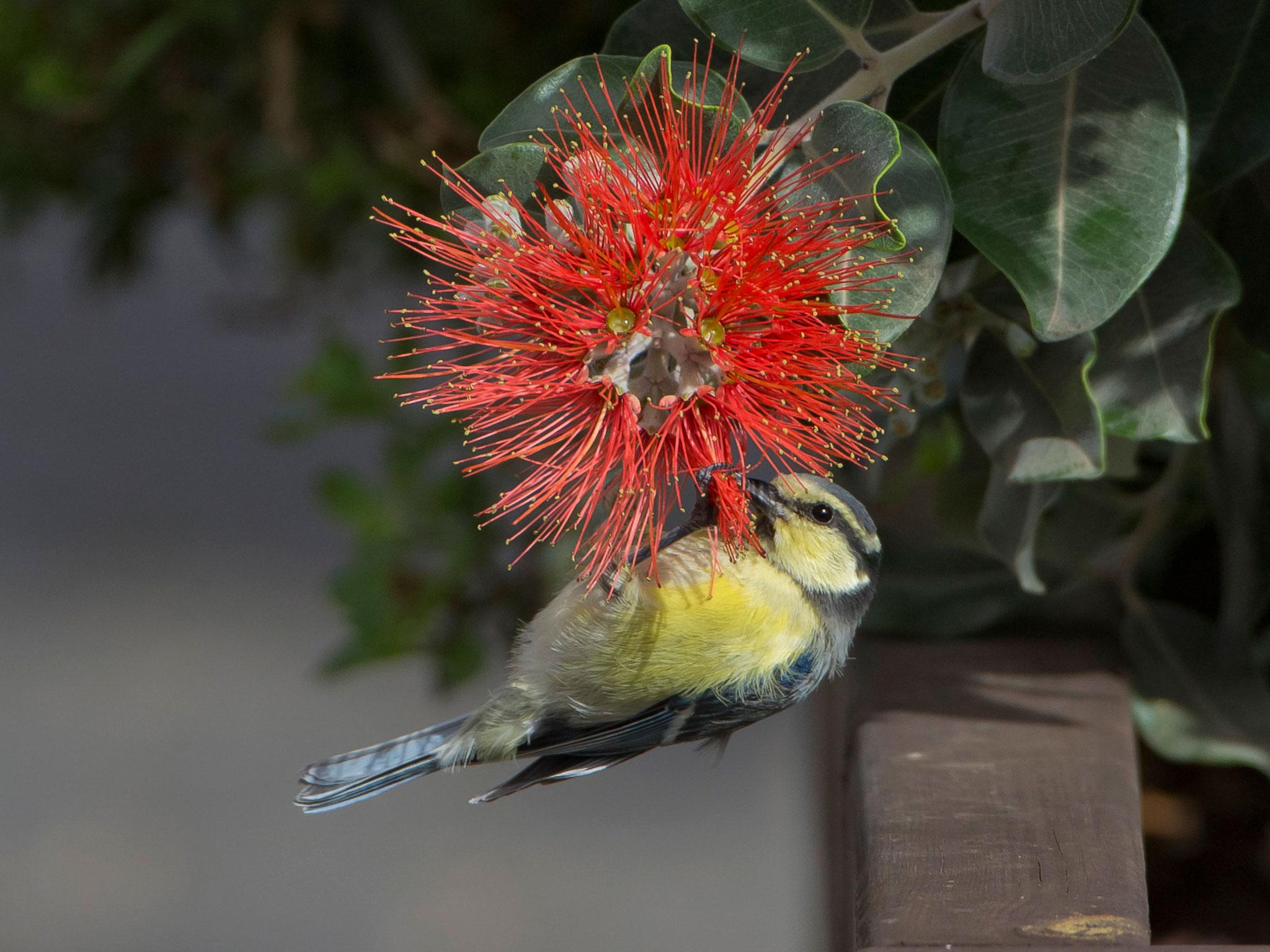 Im Ort sind auch Vogelbeobachtungen möglich wie diese junge Ultramarinmeise, die sich als Kolibri versucht