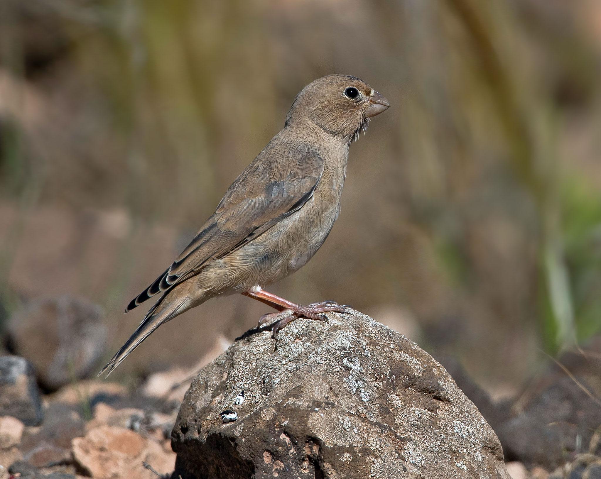 Auch Jungvögel sind unterwegs (in Fuerteventura ist das ganze Jahr Brutsaison)