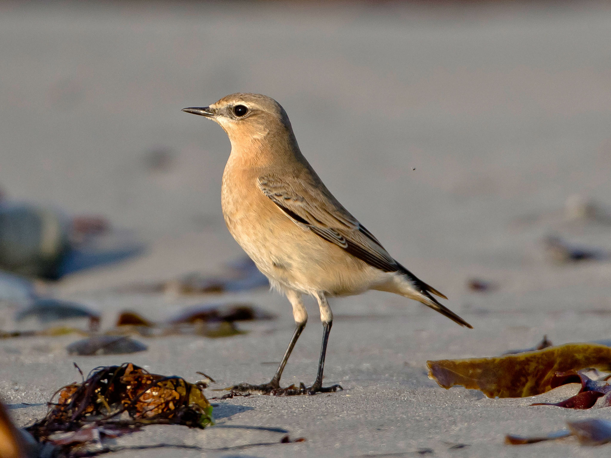 Wir beginnen sofort mit der Vogelbeobachtung, allgegenwärtig am Strand: Steinschmätzer ...