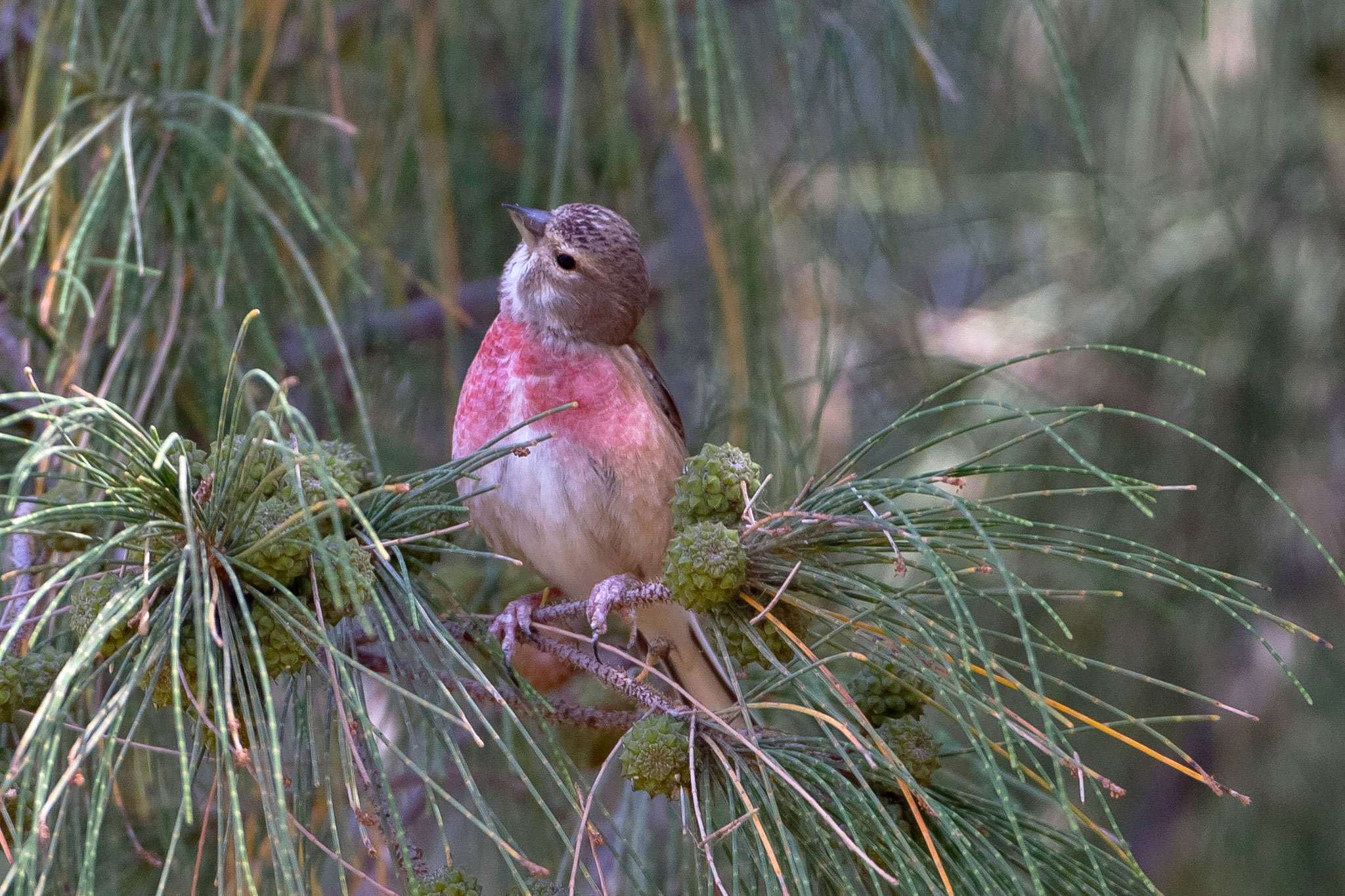Auf dem Areal  um den Oasis Park (Tierpark und botanischer Garten) begegnen uns Hänflinge ...