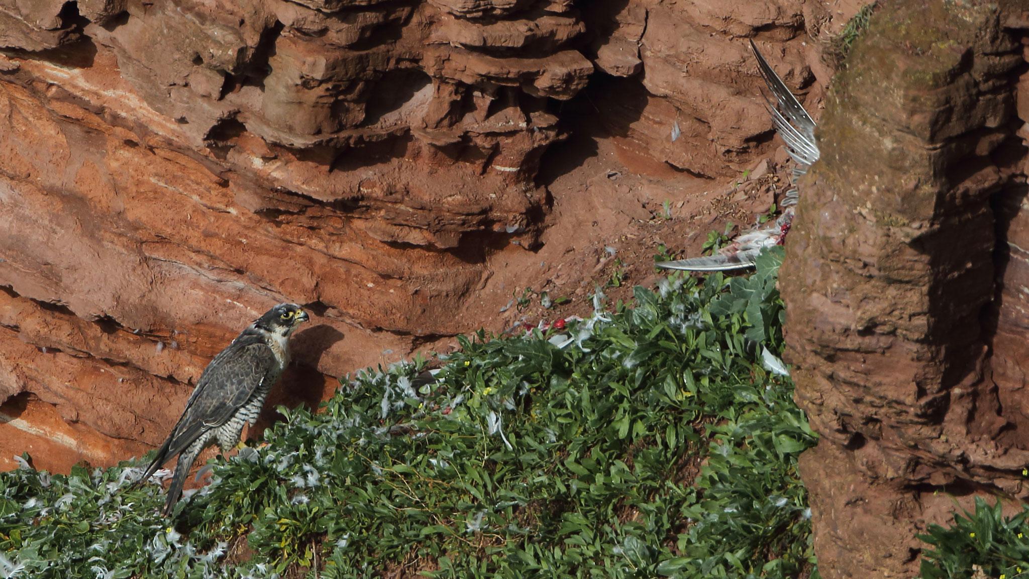 Nach der Mahlzeit versteckt er den Rest seiner Beute hinter einem Felsvorsprung