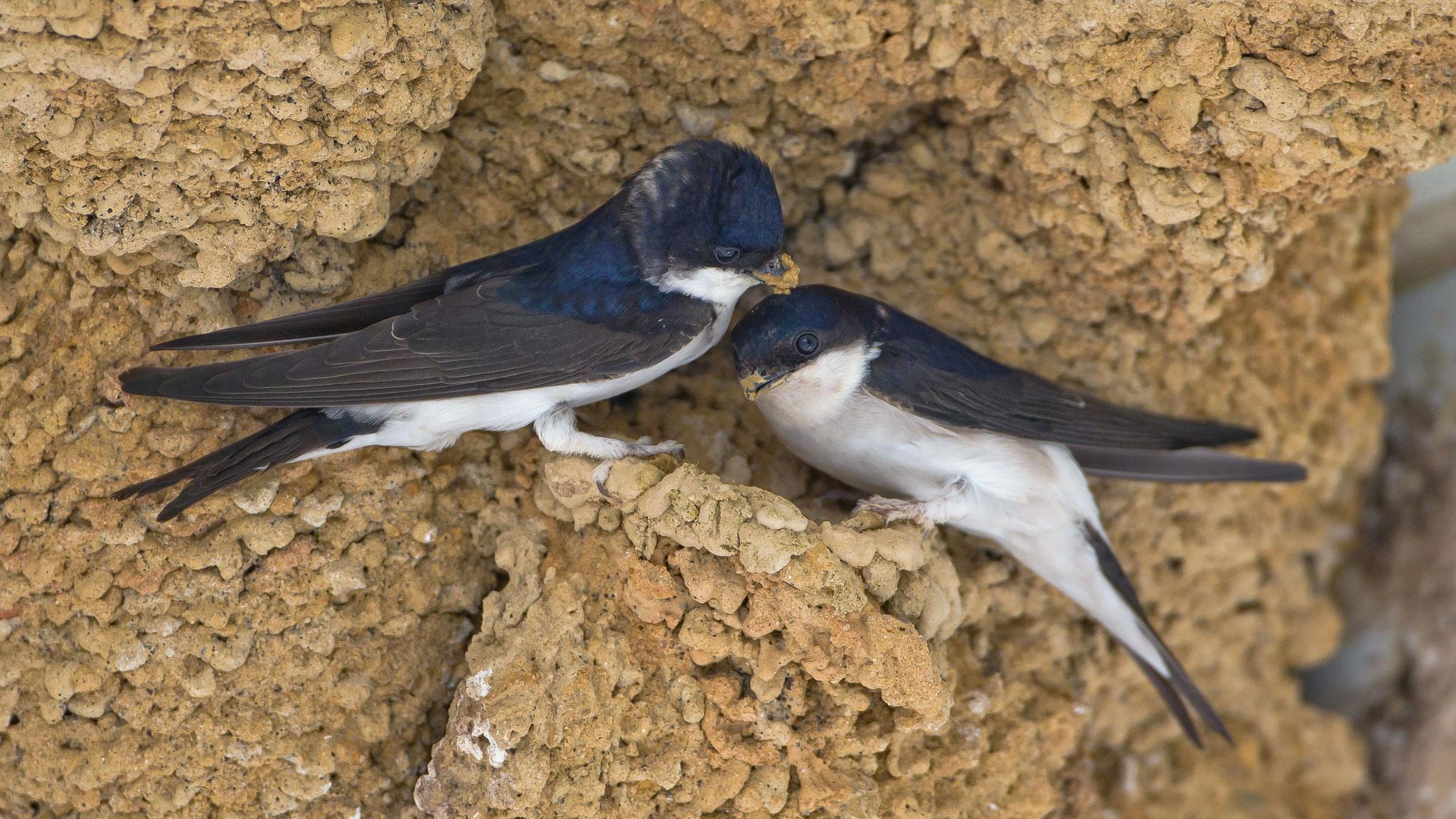 ... sind die Mehlschwalben erst am Aussbessern ihrer Nester, eine Tätigkeit die auch die Bindung zwischen den Paaren festigt.