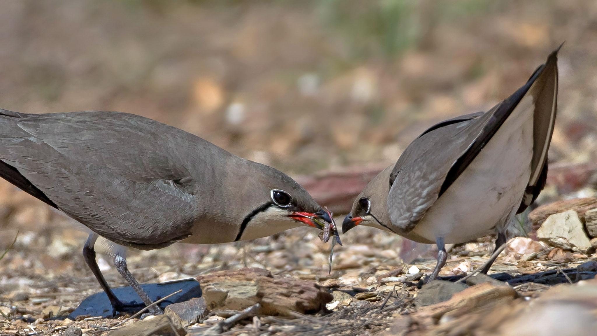 ... sowie die Übergabe von Brautgeschenken - wie bei vielen Vogelarten