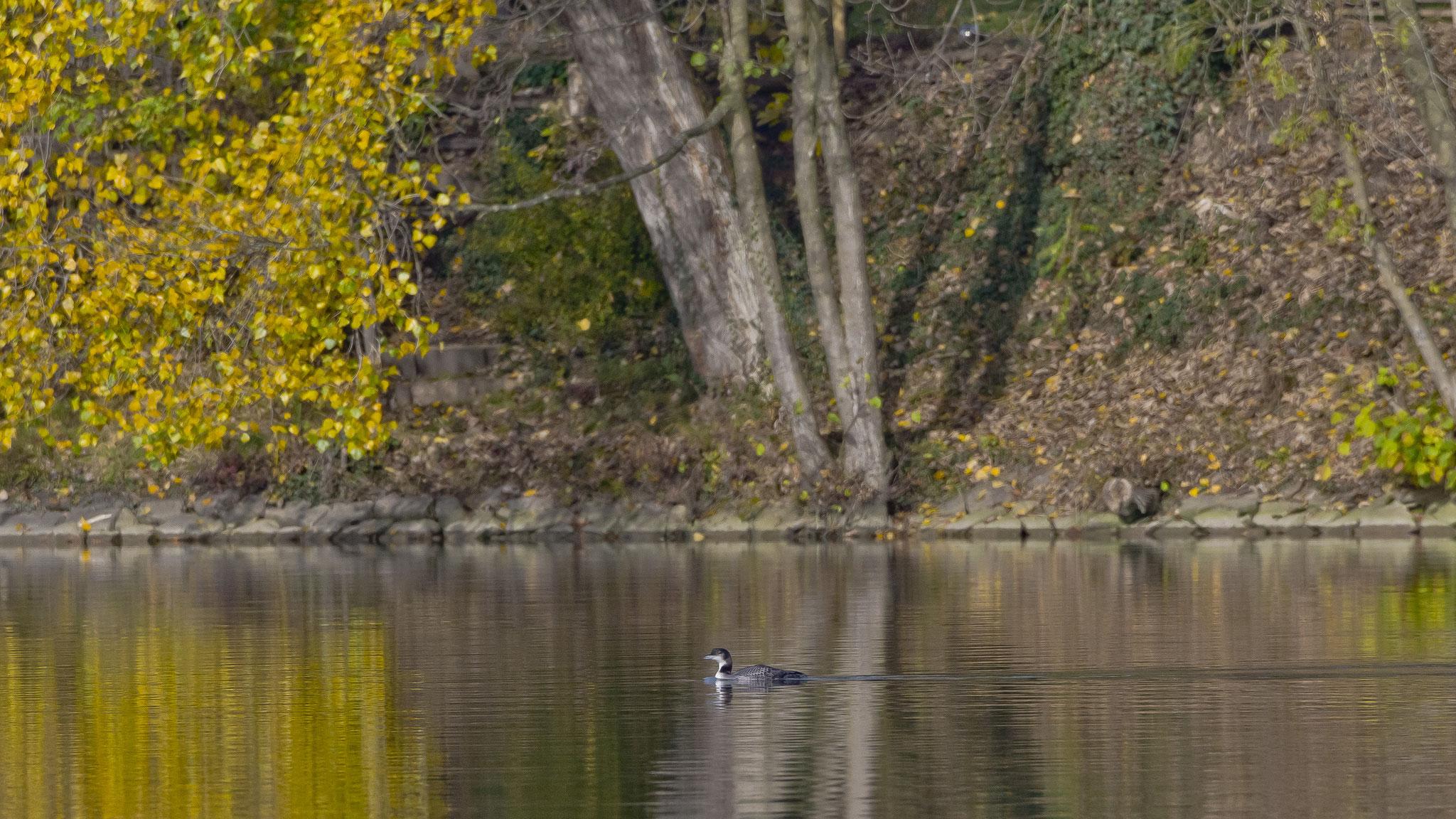 Eistaucher auf dem Rhein bei Sisseln
