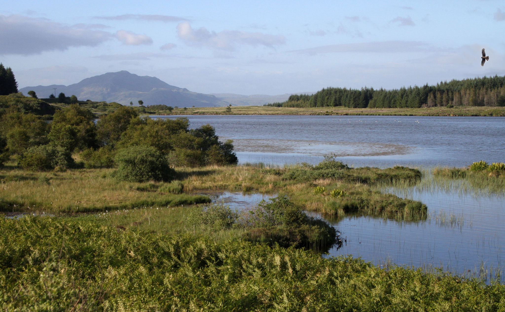 Zwischen Tobermory und Dervaig ist die Hochebene mit den Mishnish-Lochs - gutes Kornweihen-Gebiet