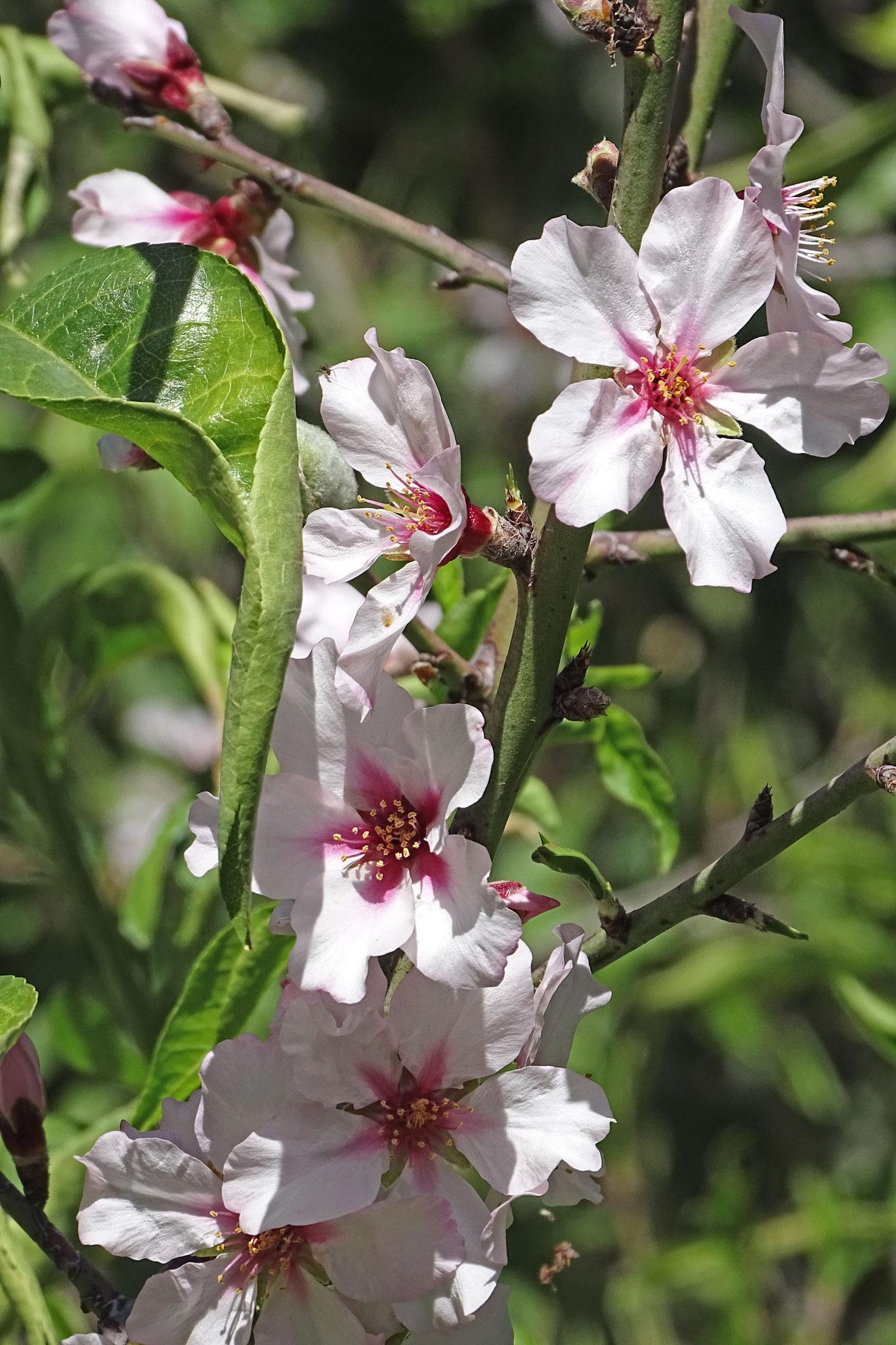 Einer der wenigen Orte auf der Insel, wo Mandelbäume blühen