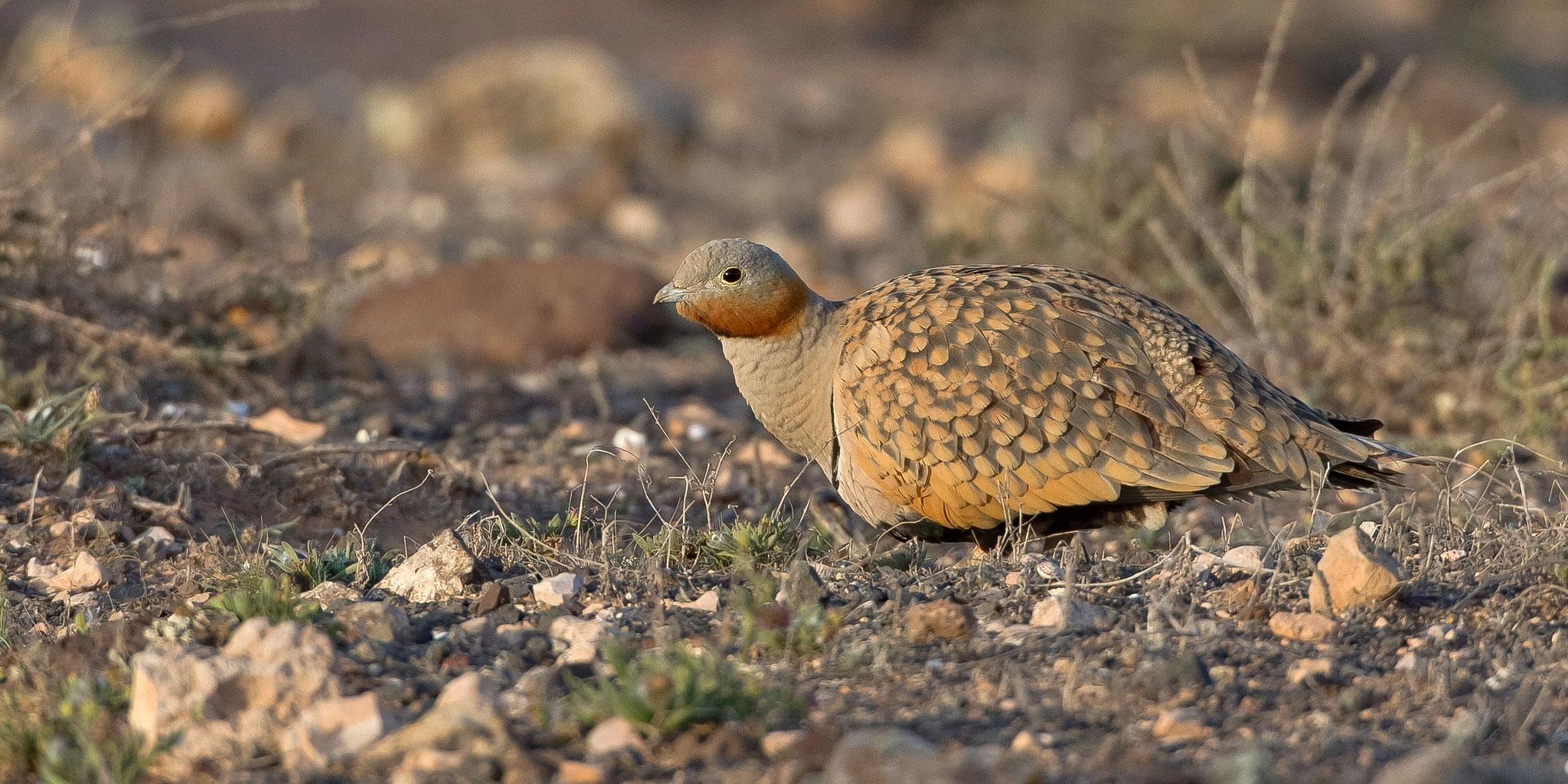 In der Jandia-Wüste konnten wir 2015 die Sandflughühner nur fliegend beobachten ...