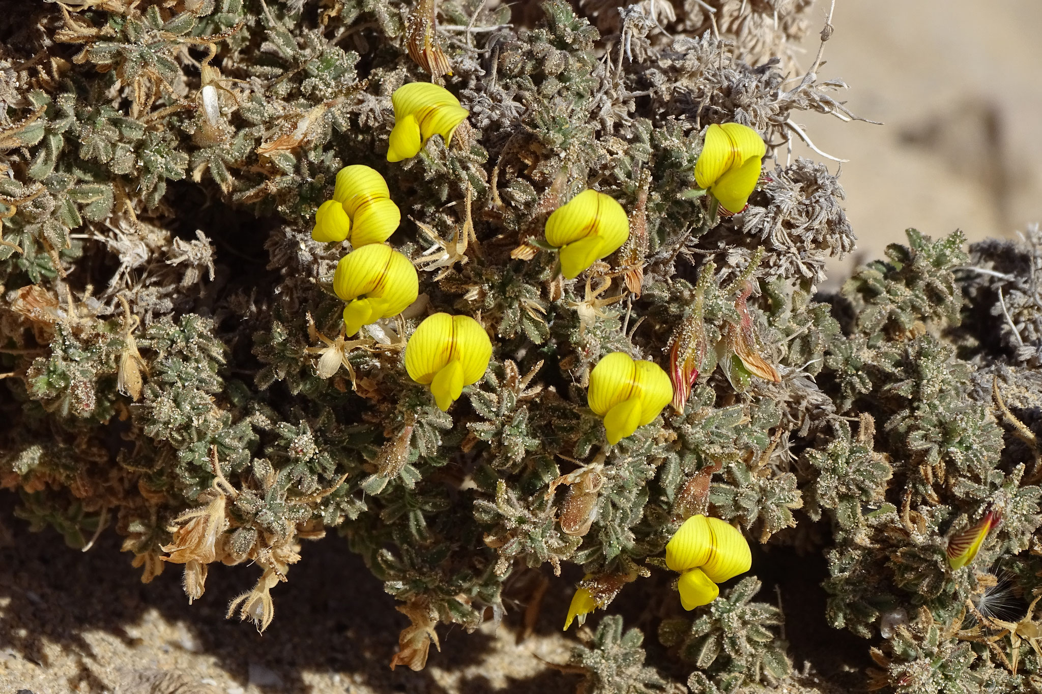 eine Hauhechelart (Ononis hesperia)