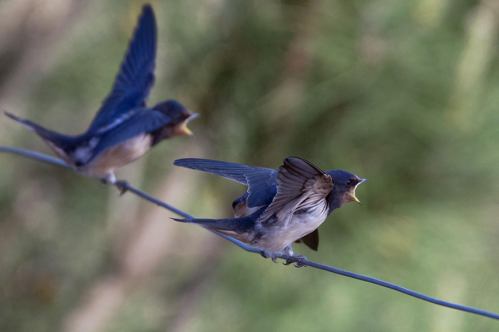 Während diese bereits ihre flüggen Jungvögel füttern ...