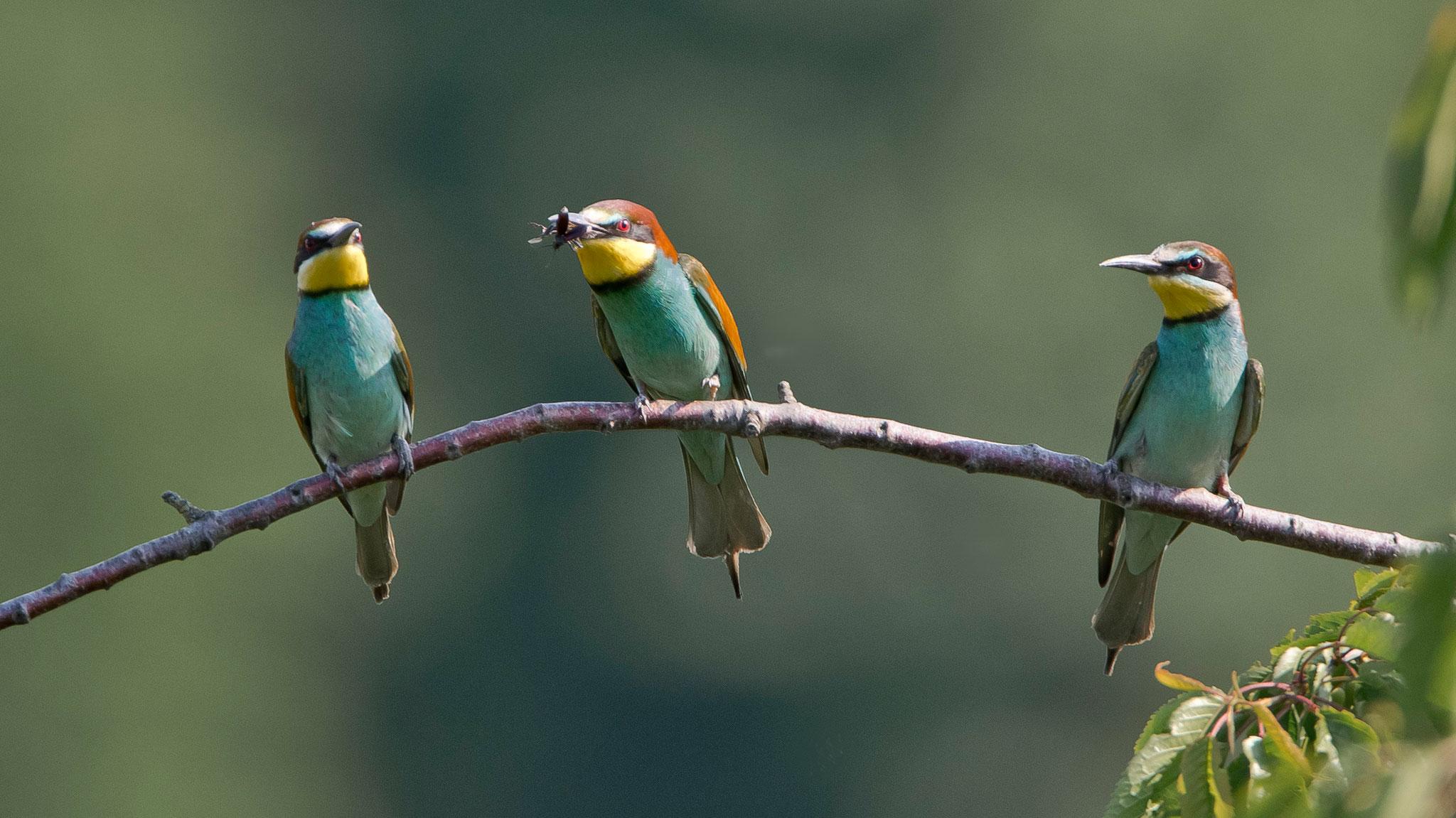 Ein zweites Weibchen (rechts) ist offenbar auch an dem Geschenk interessiert