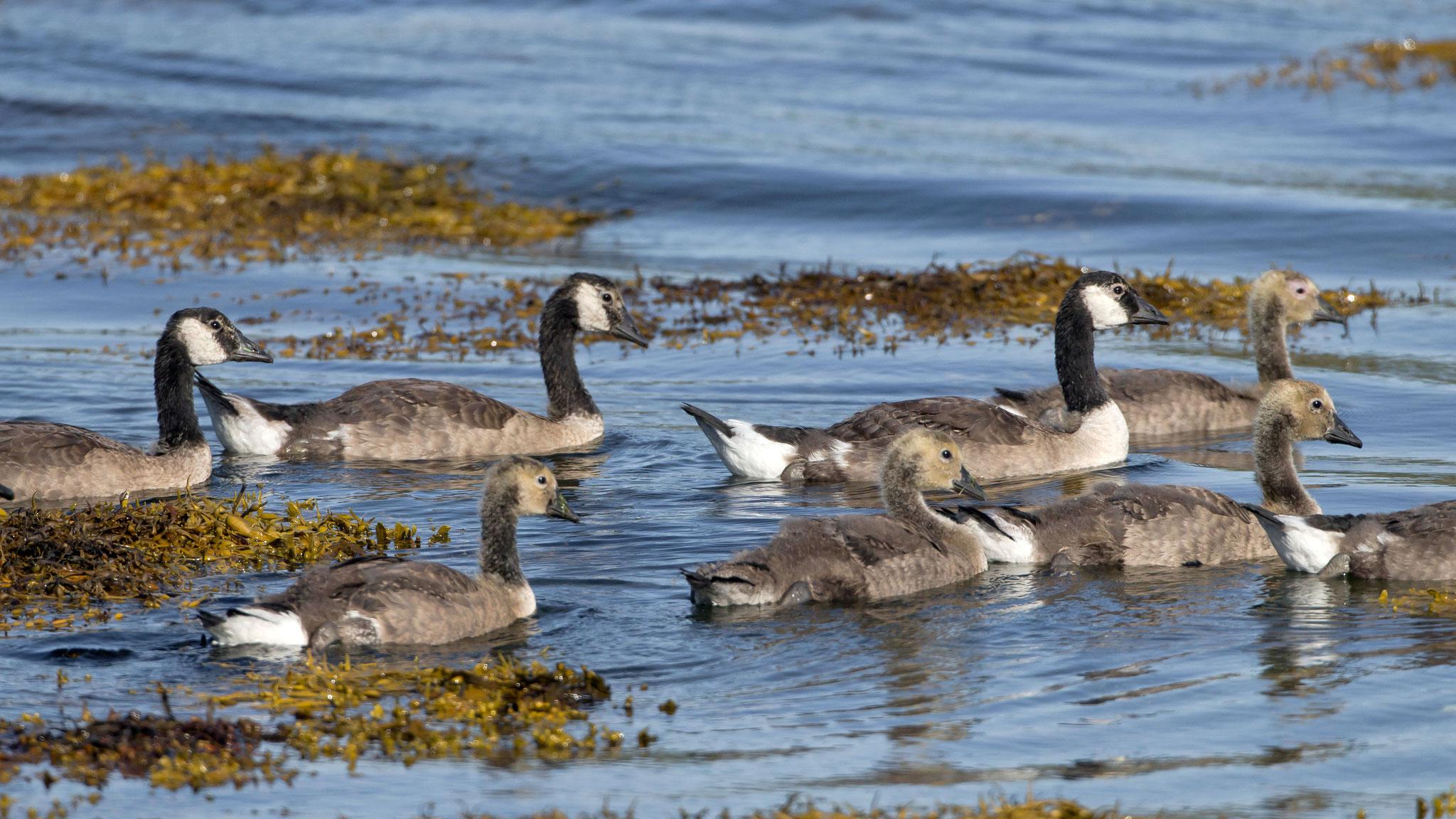 Ebenfalls am Lochbuie sehen wir eine Familie von Kanada-Gänsen...