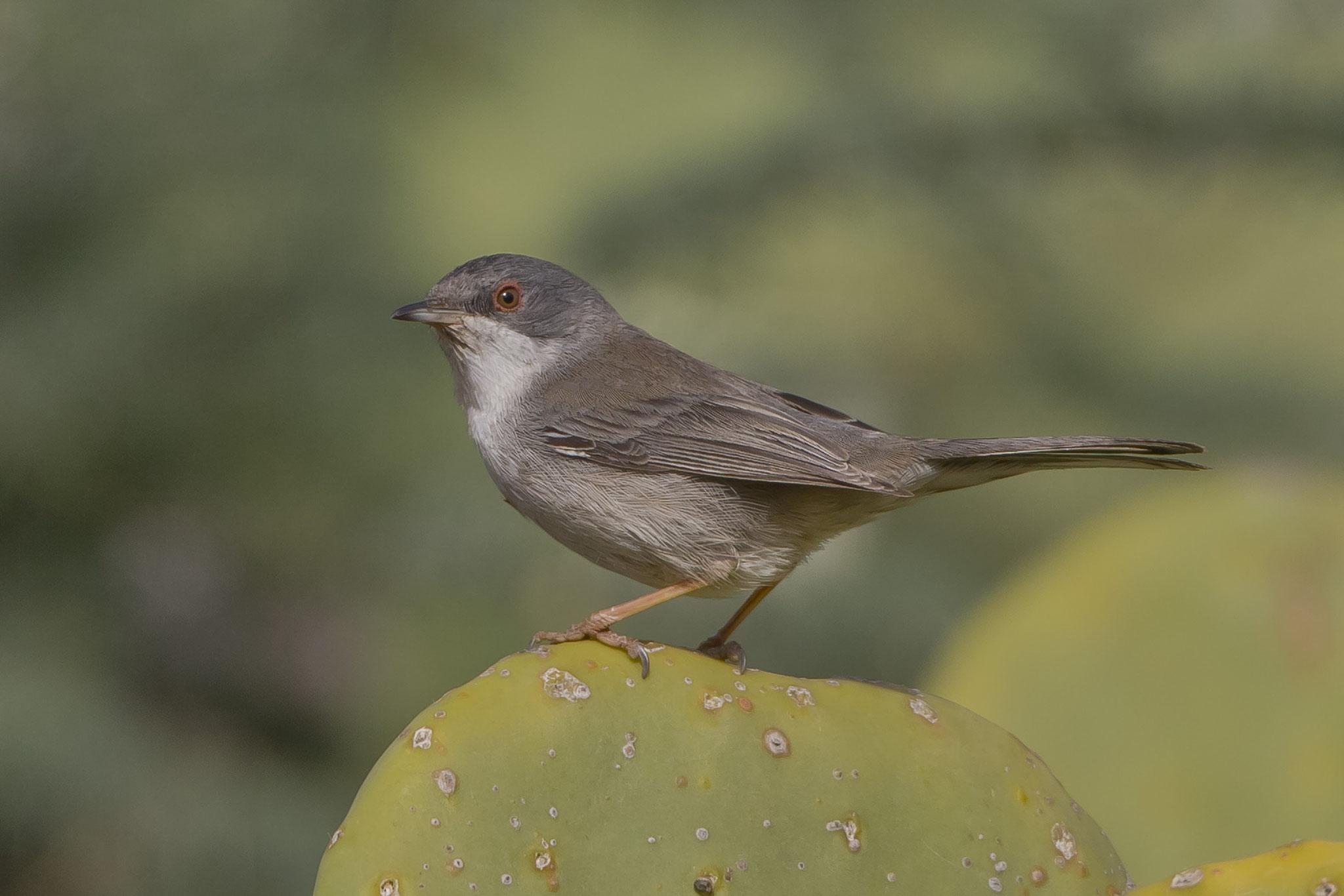 Samtkopfgrasmücke, (Weibchen), Fuerteventura, Spanien