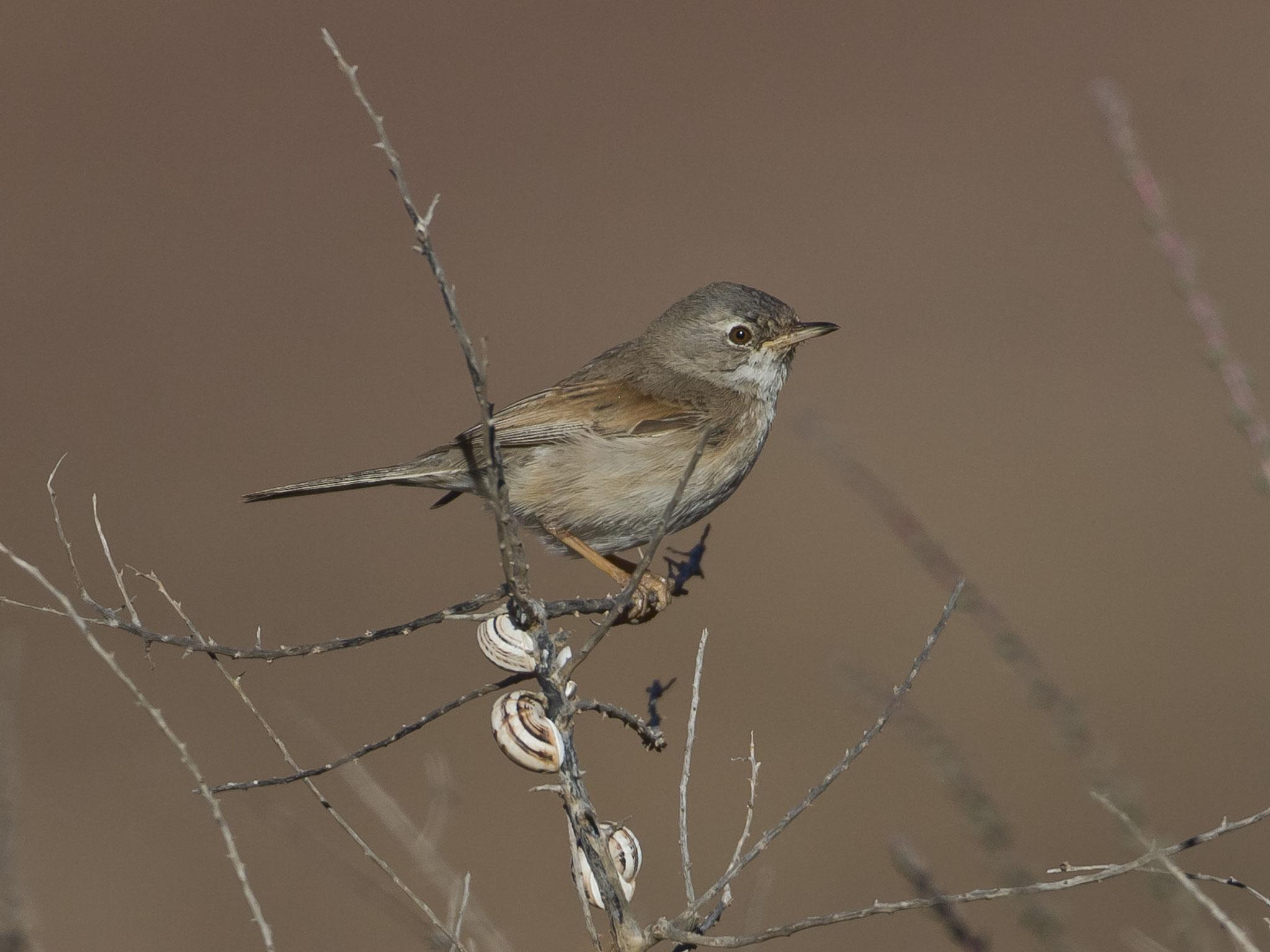 Eine Brillengrasmücken-Familie streift durch eine Brache, typisch sind die Schneckenhäuschen an den Halmen ...