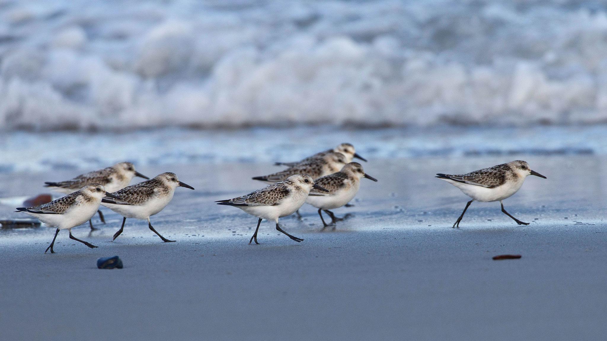 ... Trupps von Sanderligen, die meist auf dem überspülten Sandsaum herumlaufen