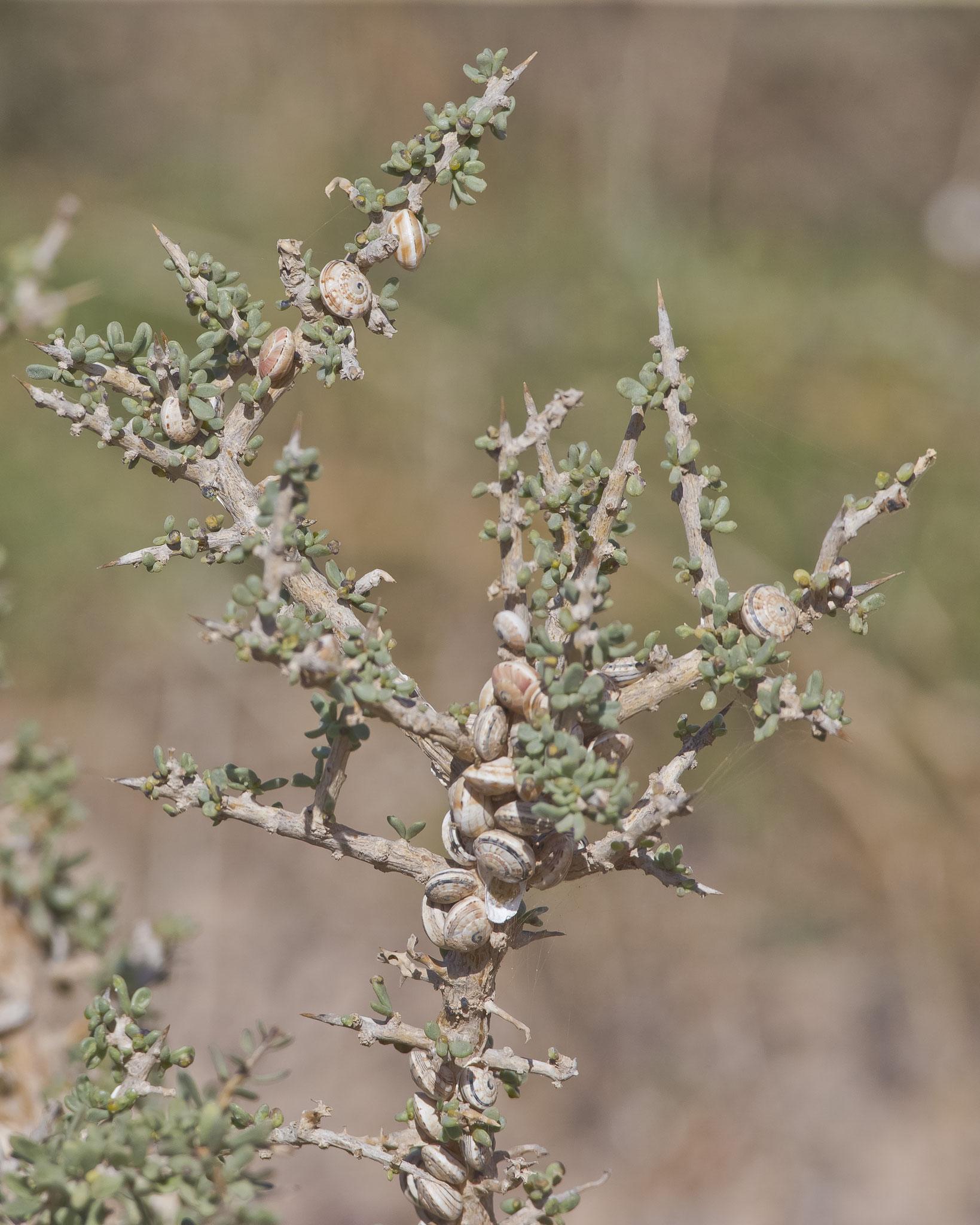 An Pflanzenstängeln und Pfosten sind oft Ansammlungen von Häuschen-Schnecken zu beobachten