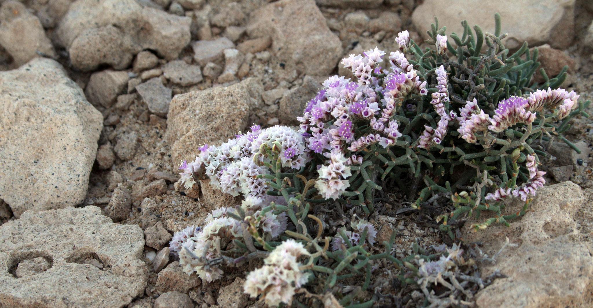 Kammförmiger Strandflieder (Limonium pectinatum)