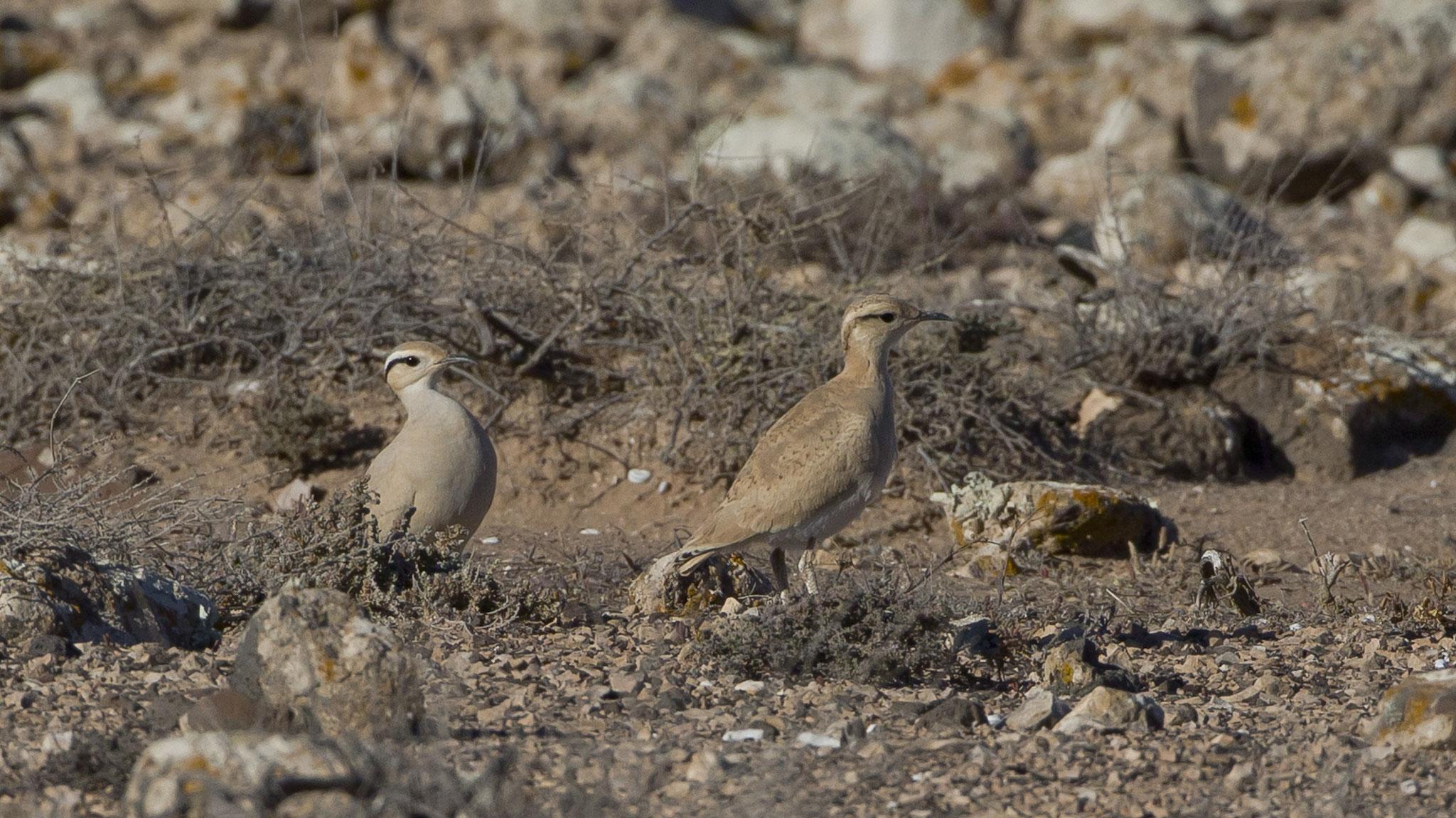 """Rennvögel begegnen uns nicht sehr viele, rechts ein Jungvogel, der von den Eltern """"bewacht"""" wird"""