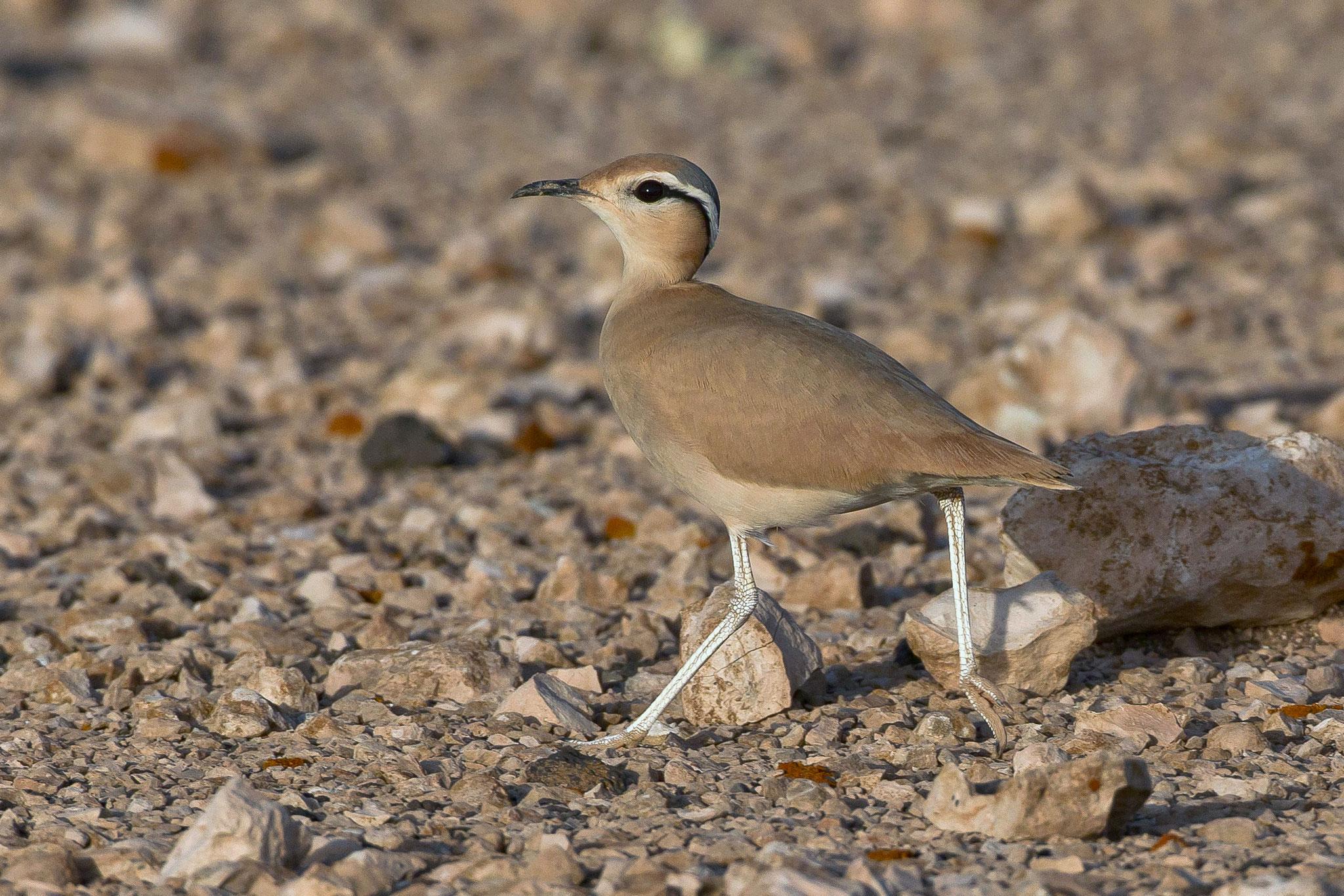 Rennvögel bewegen sich meist rasch in kleinen Trupps durch die Ebene ...