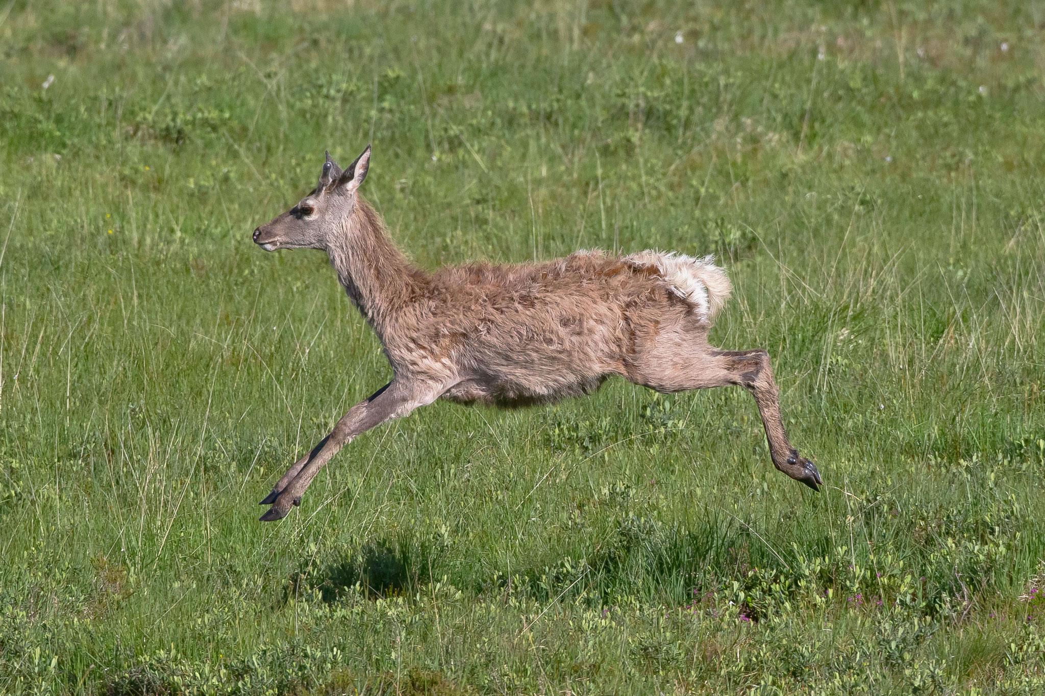 ... ebenso wie Sikahirsche - die Hirschjagd ist in Schottland sehr beliebt