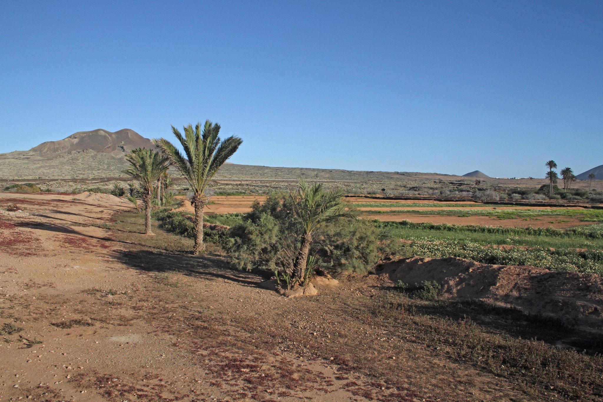 In La Oliva ist eines der wenigen künstlich bewässerten Gebiete, wo Agrarwirtschaft betrieben wird