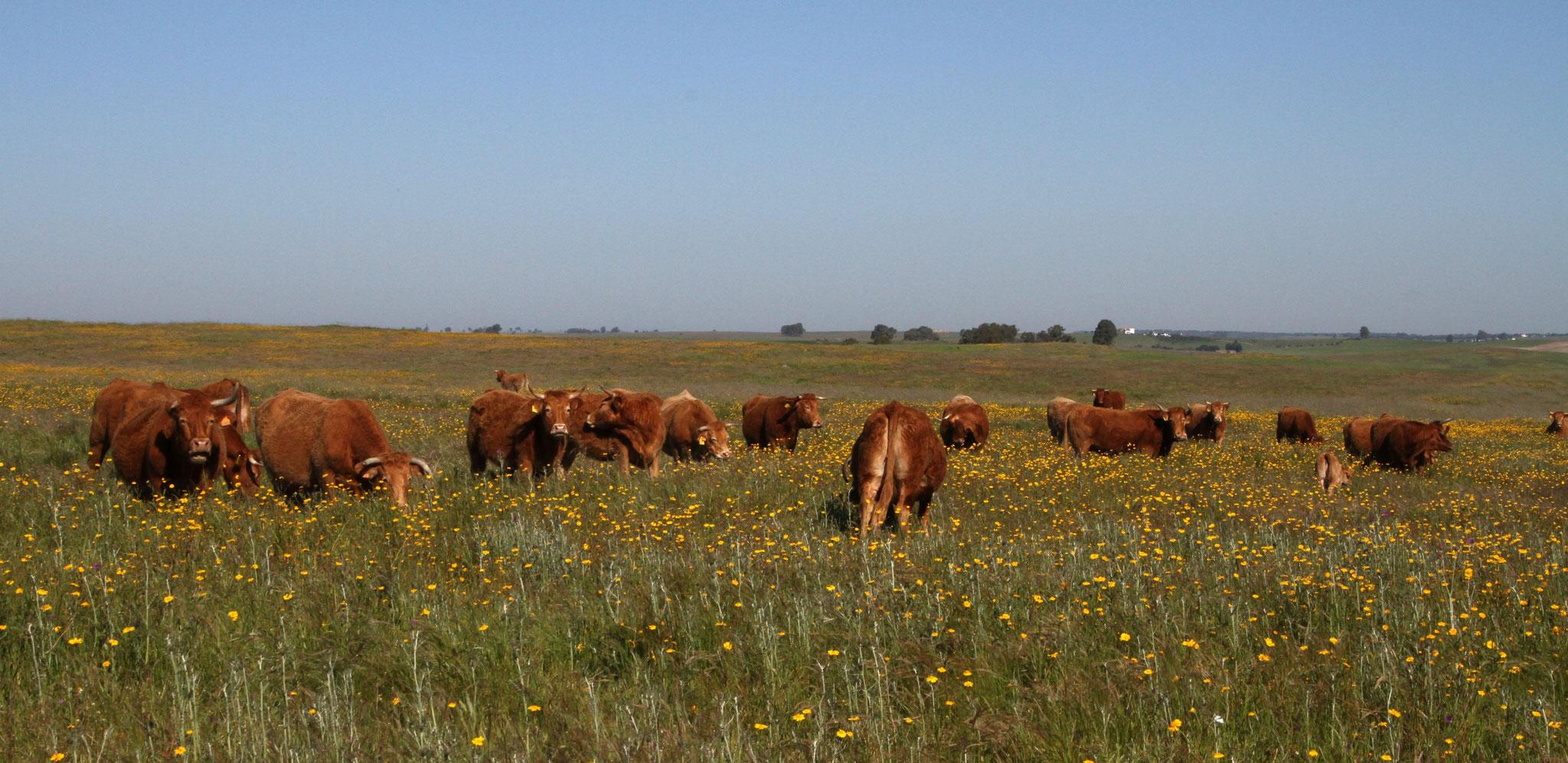 Hauptwirtschaftszweig von Monte da Aparica ist die Rinderzucht, Grasland hat es ja genügend