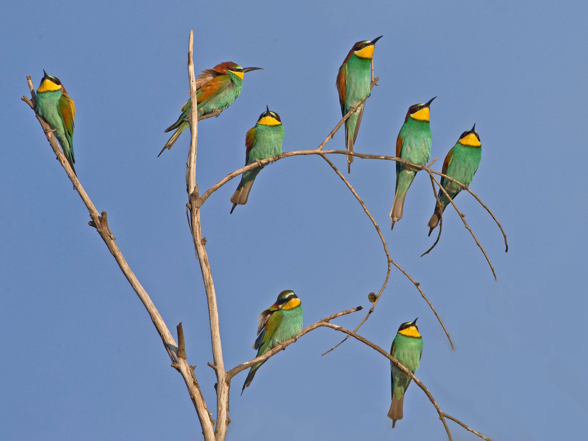 Der ganze Trupp von rund 10 Vögeln ...
