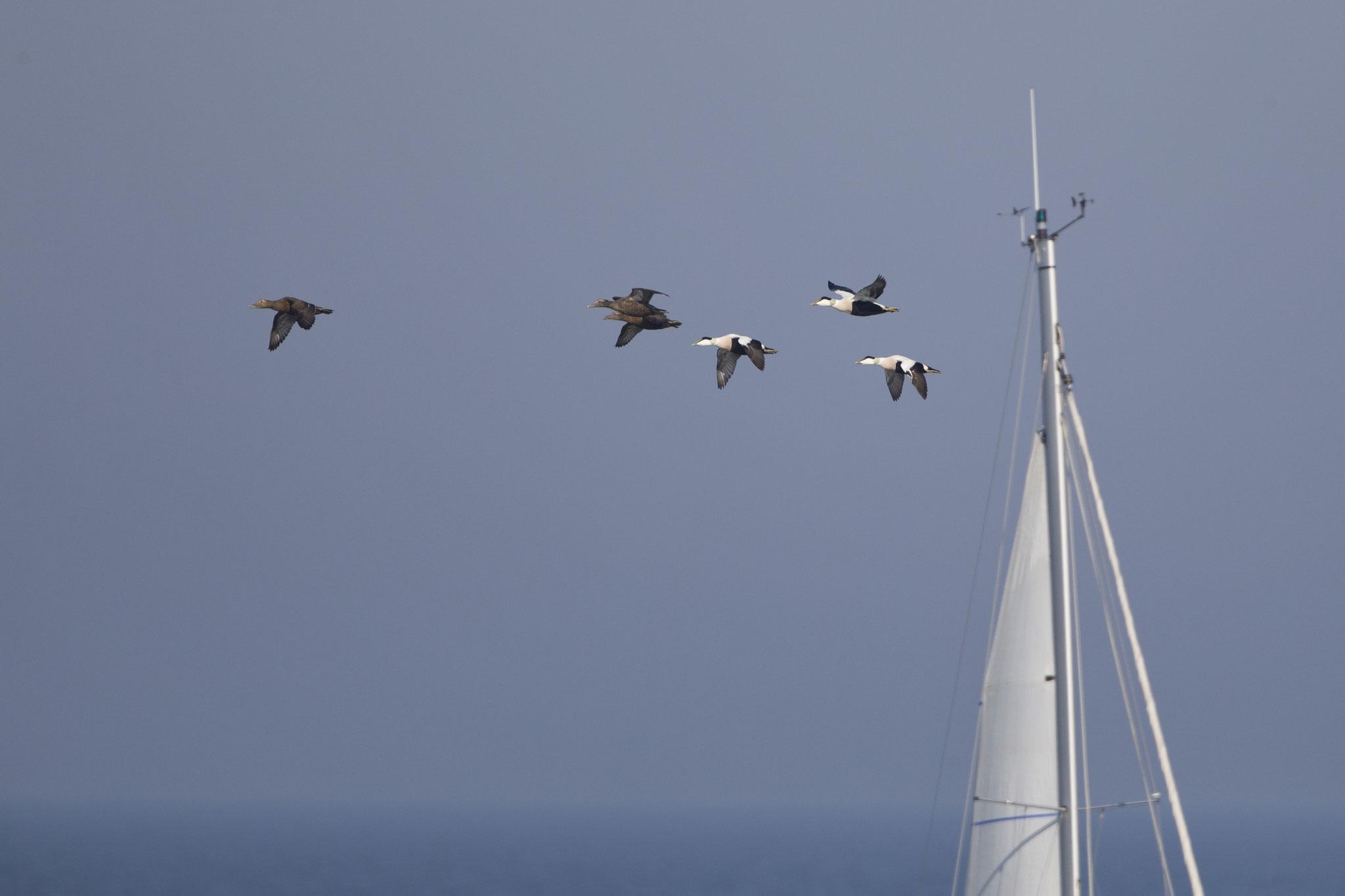 Es kreuzen uns Segeljachten und Trupps von Eiderenten sowie andere Seevögel