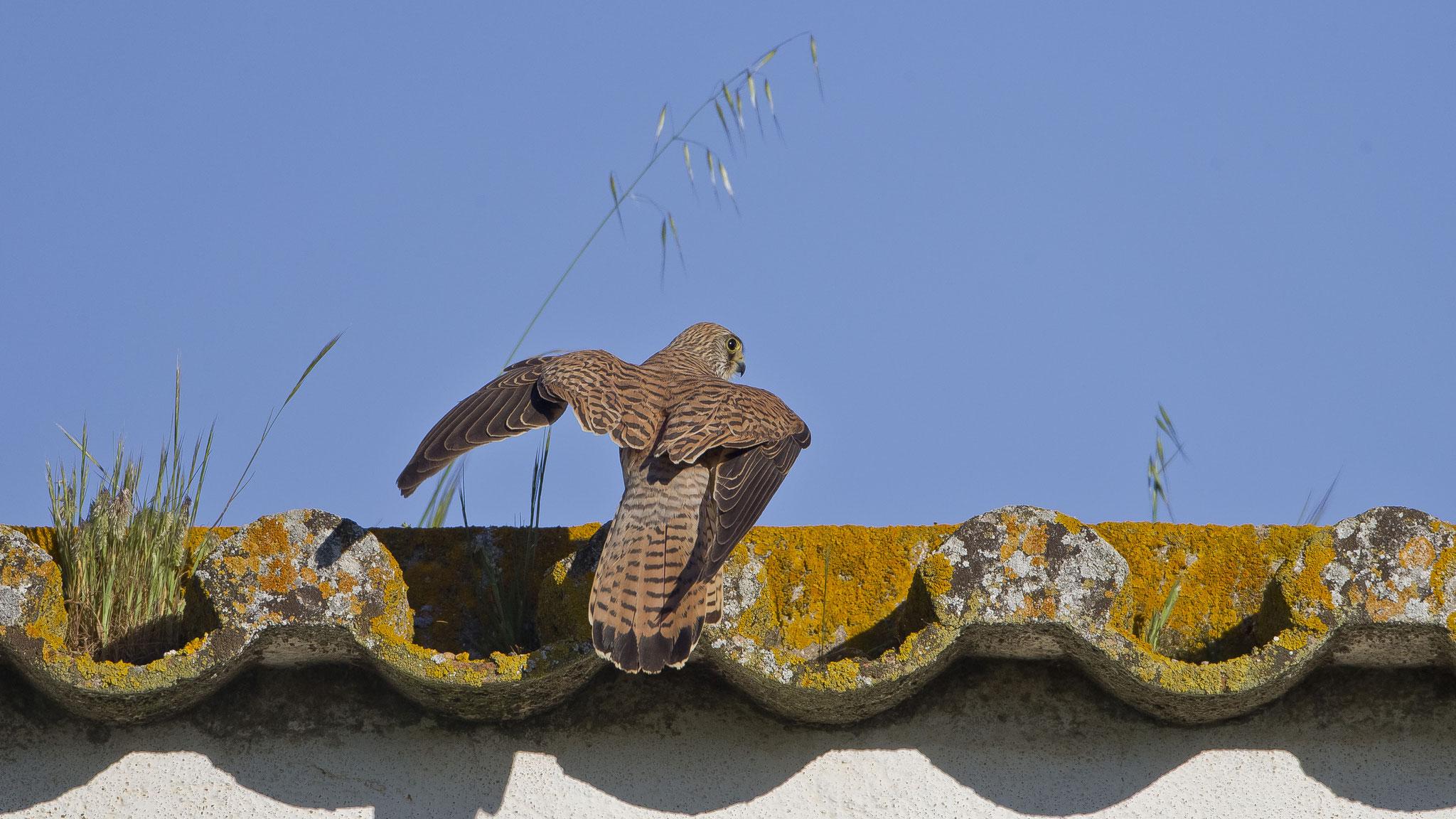 Das Gebäude beherbergt eine grössere Brutkolonie von Rötelfalken - daher auch ein Paradies für Vogelfotografen!