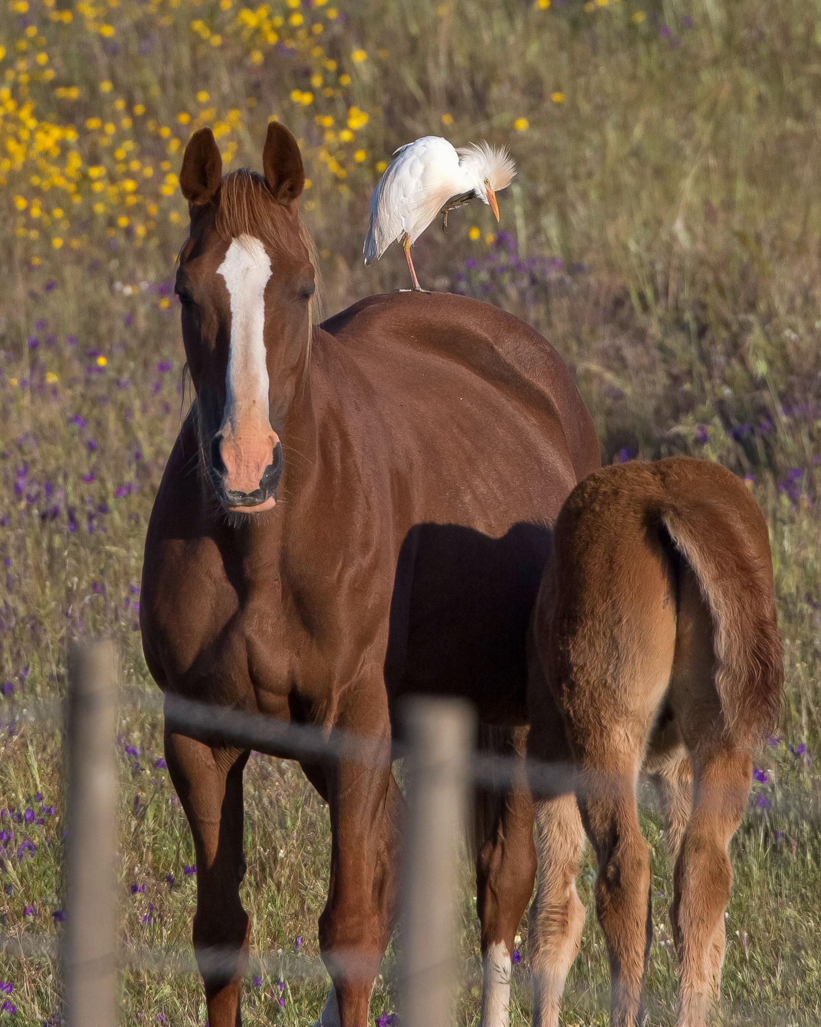 ... und noch glücklichere Kuhreiher, die so schöne Pferde reiten dürfen