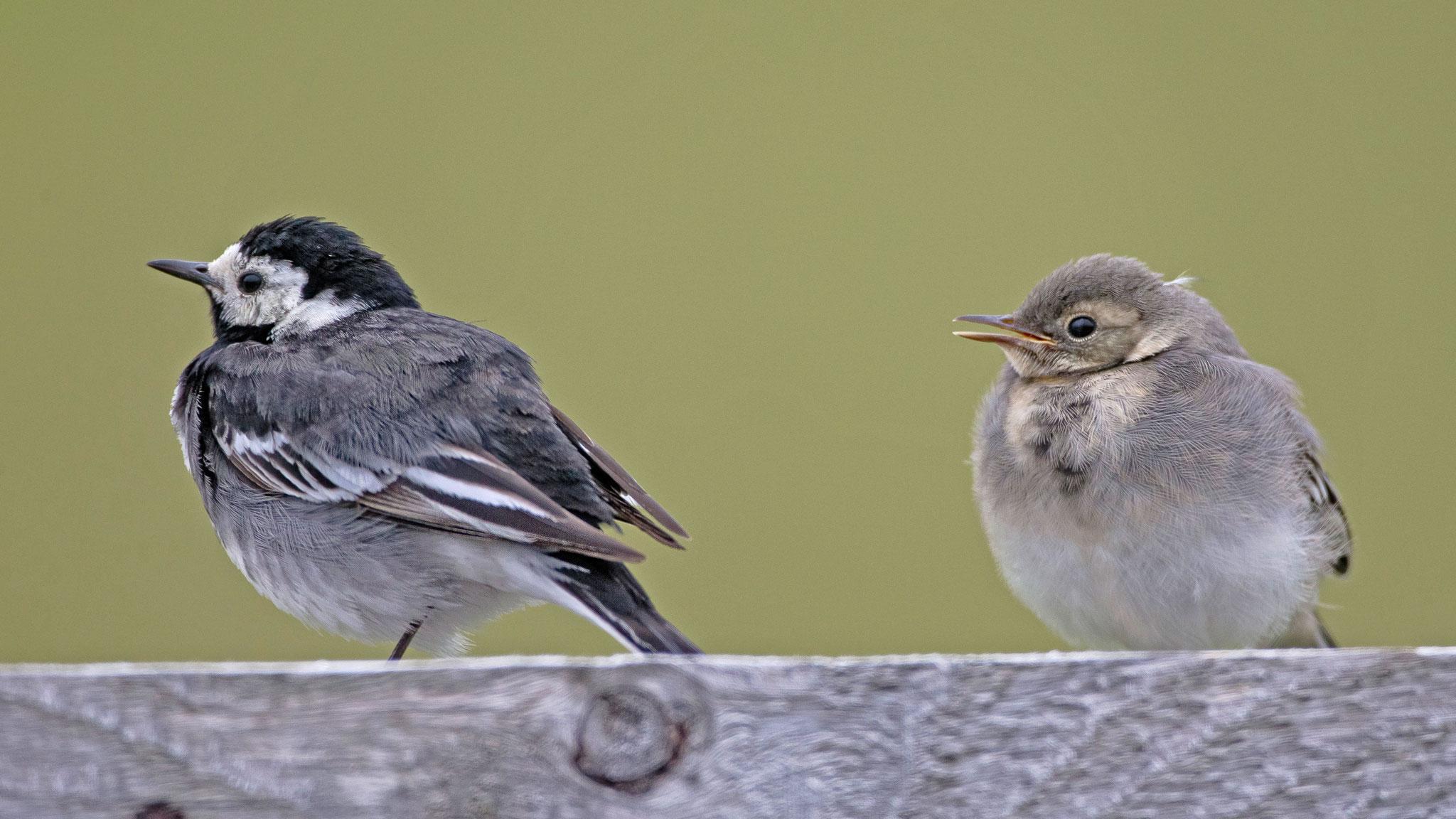 ... hier ein Weibchen mit Jungvogel