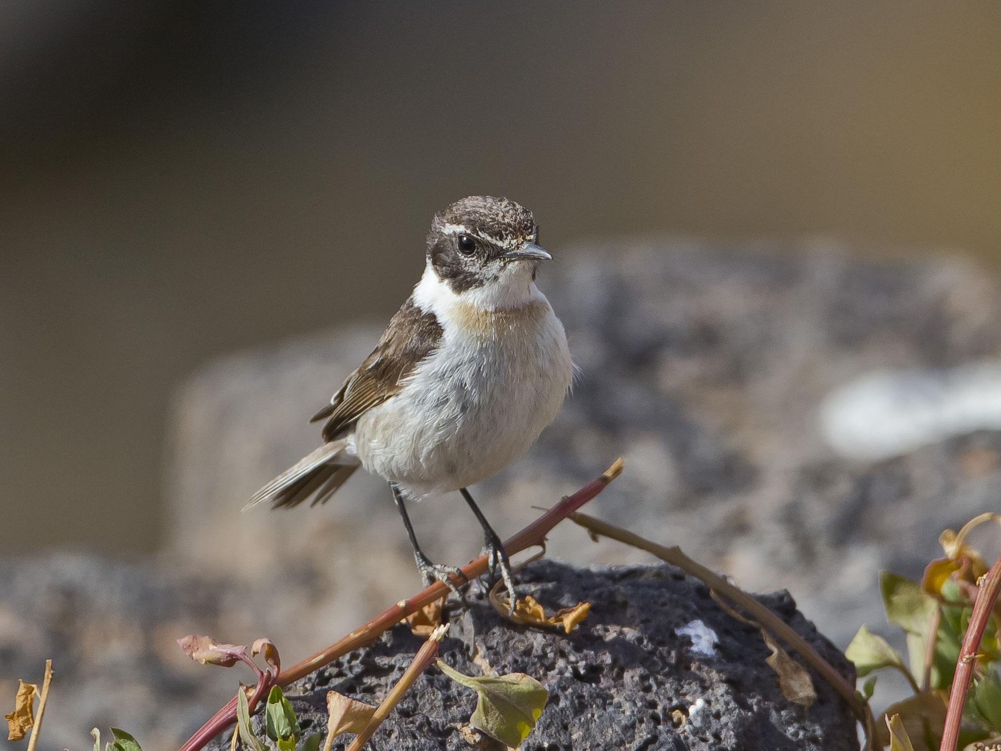 ... unglaublich, dass es von dieser Art weltweit nur noch ca. 1000 Brutpaare und nur auf Fuerteventura gibt. Wir sehen Männchen ...