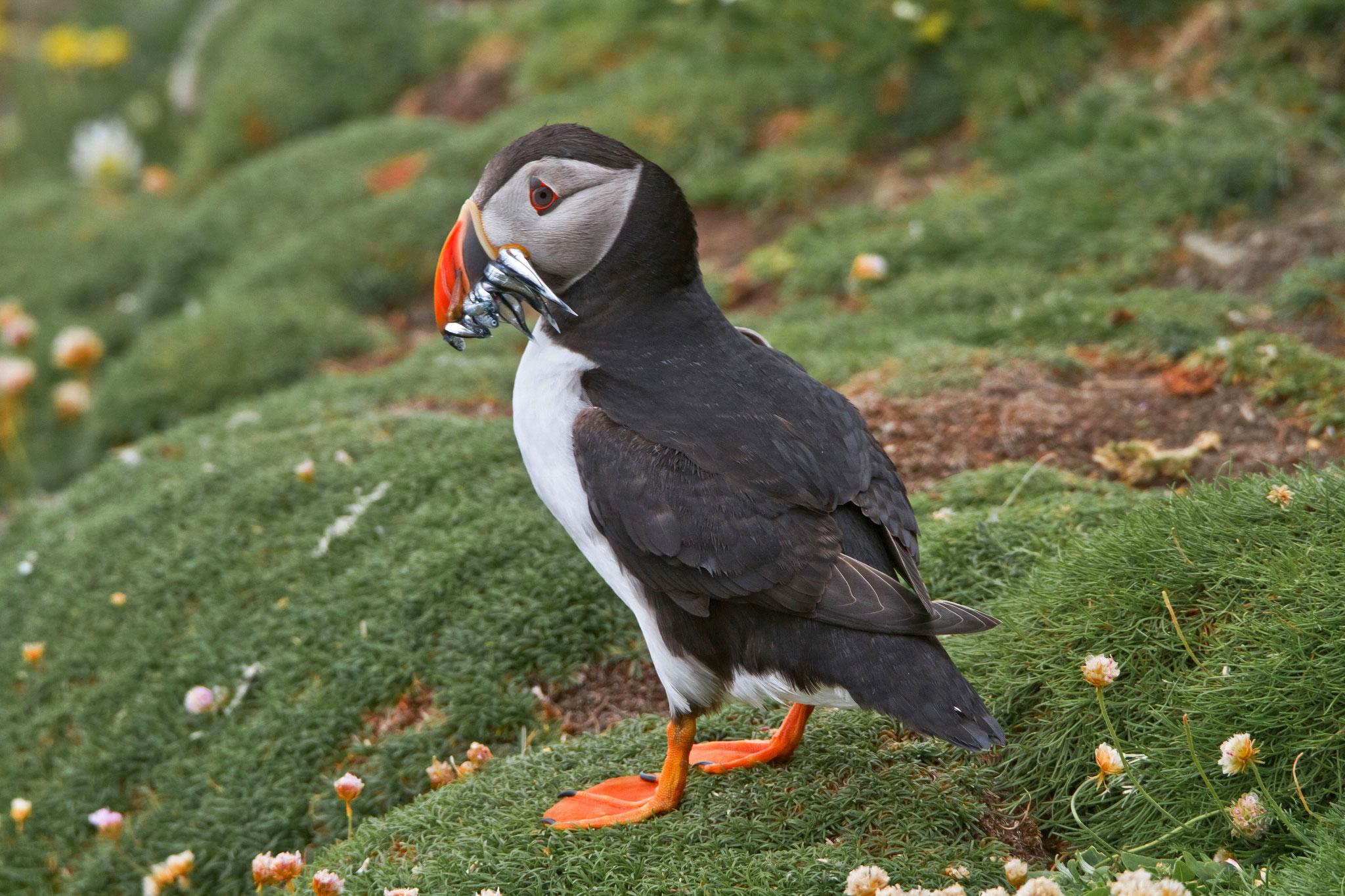 Papageitaucher, Sumburgh, Shetland, Grossbritannien