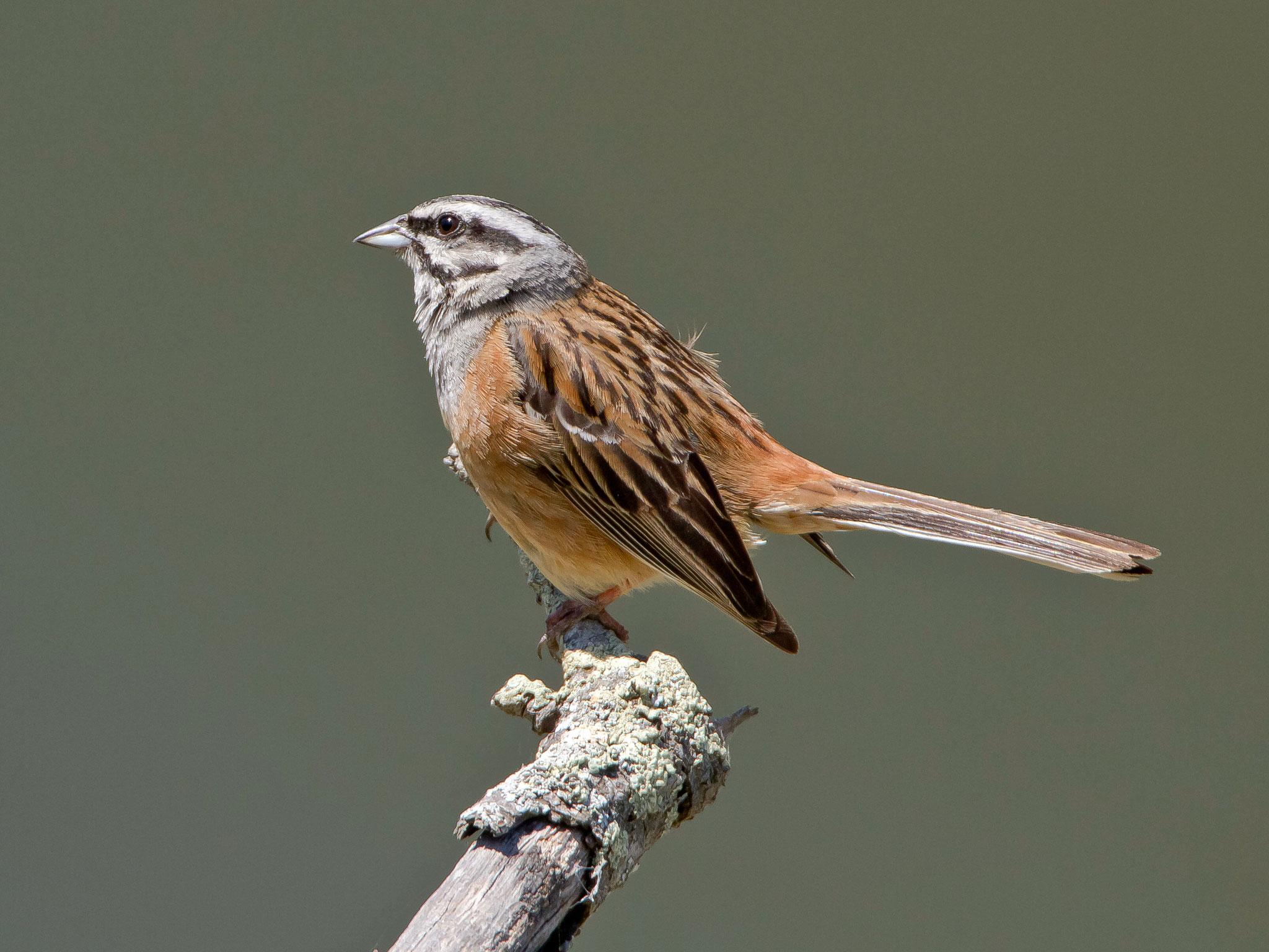 Zippammer, Monfragüe (Extremadura), Spanien