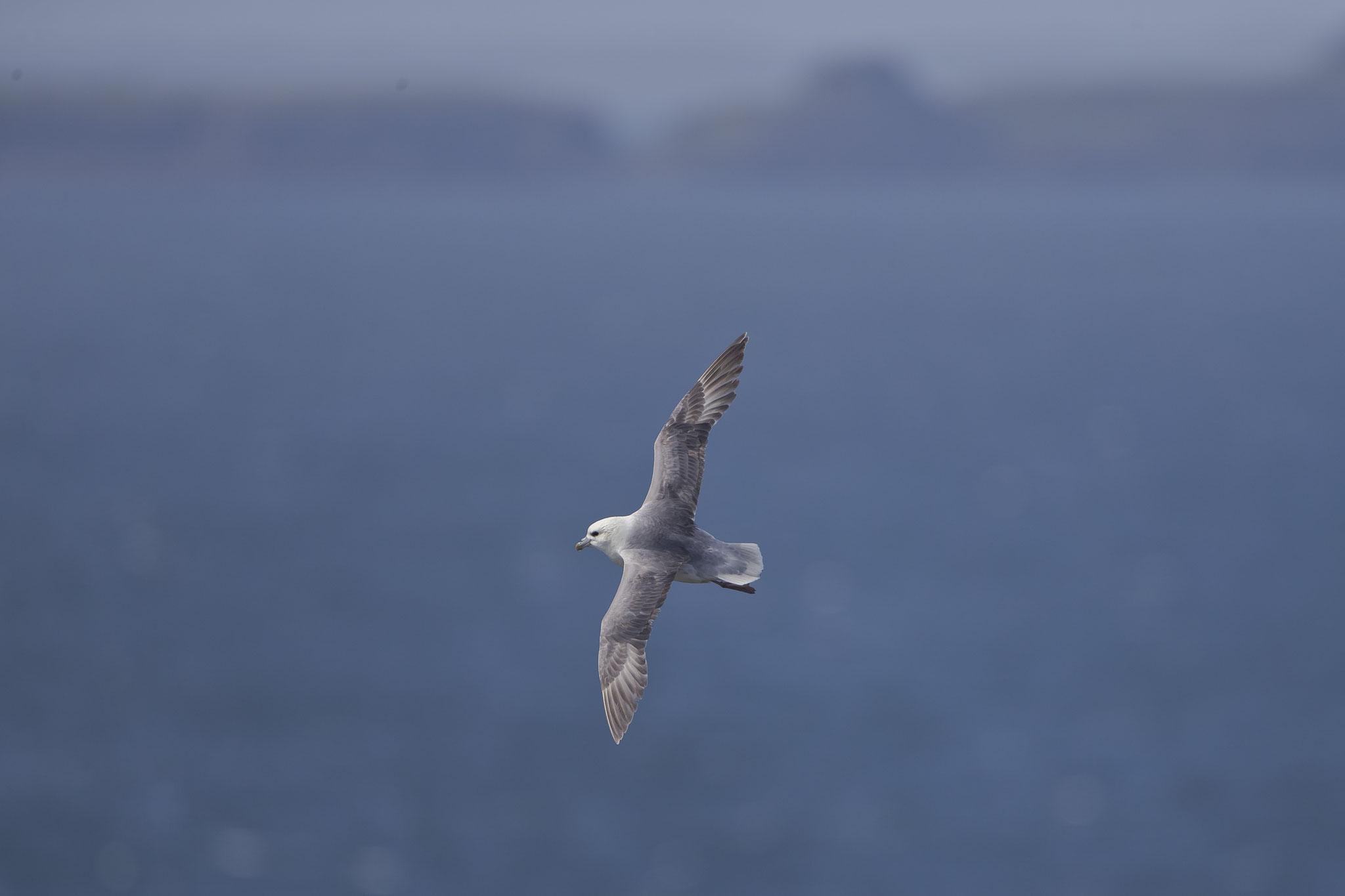 Eissturmvögel sind begnadete Gleitflieger...