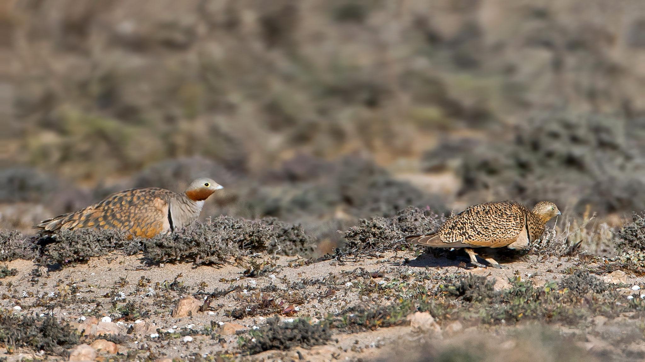 ... andere Vögel wie die Sandflughühner reagieren empfindlicher ...